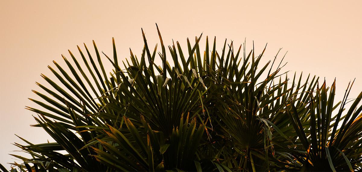 Ausschnitt einer Palmenspitze | Loïse Raoult (Unsplash)