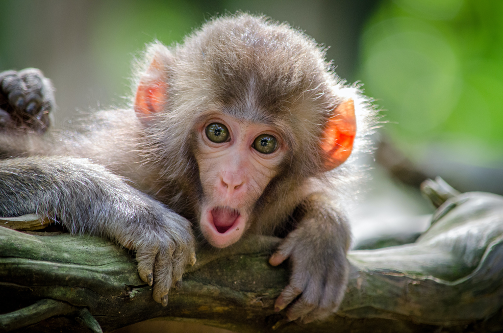 monkey with surprised face
