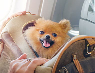 Pomeranian Dog safely carried in an airplane carry-on luggage case.