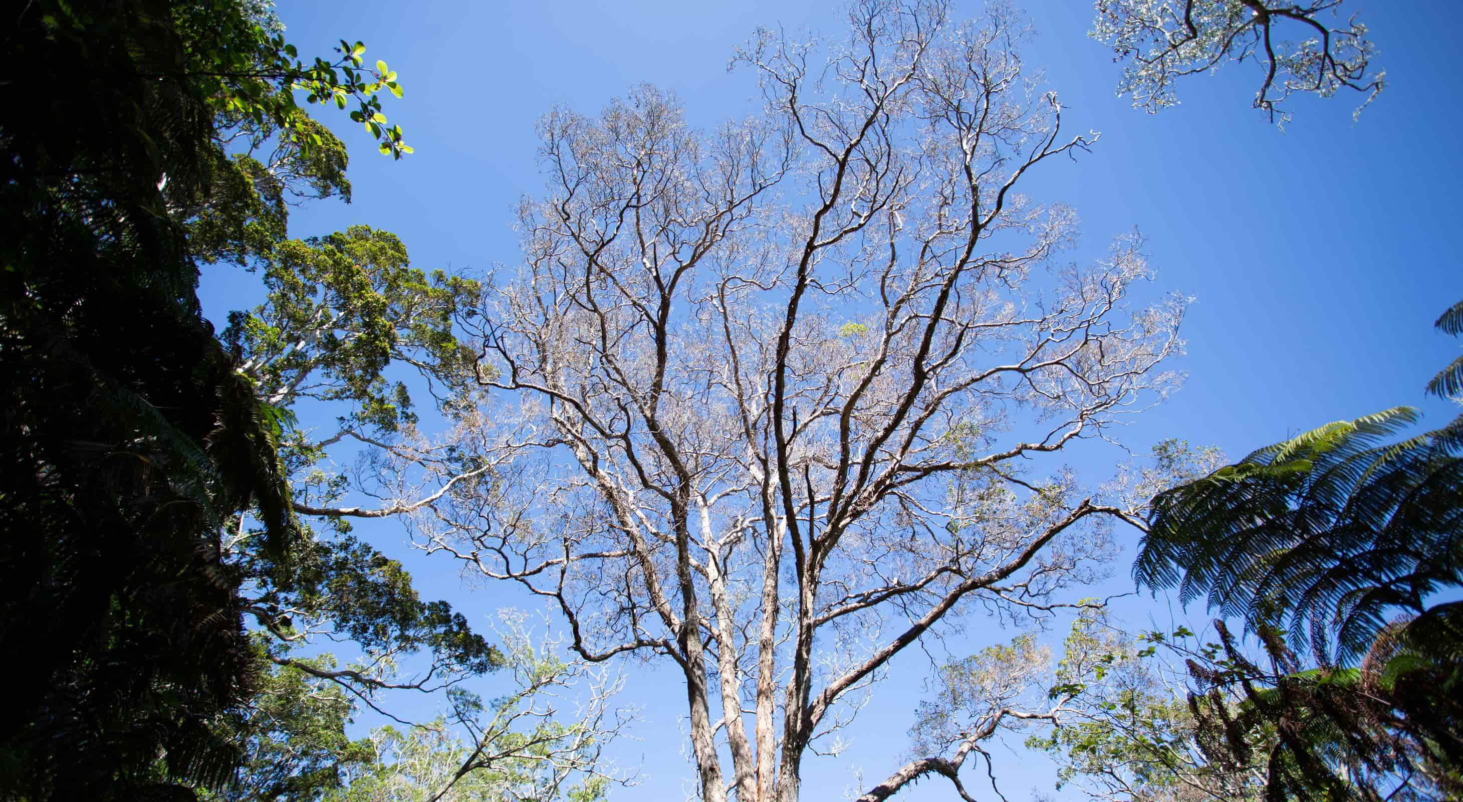 A large Ohia tree with ROD