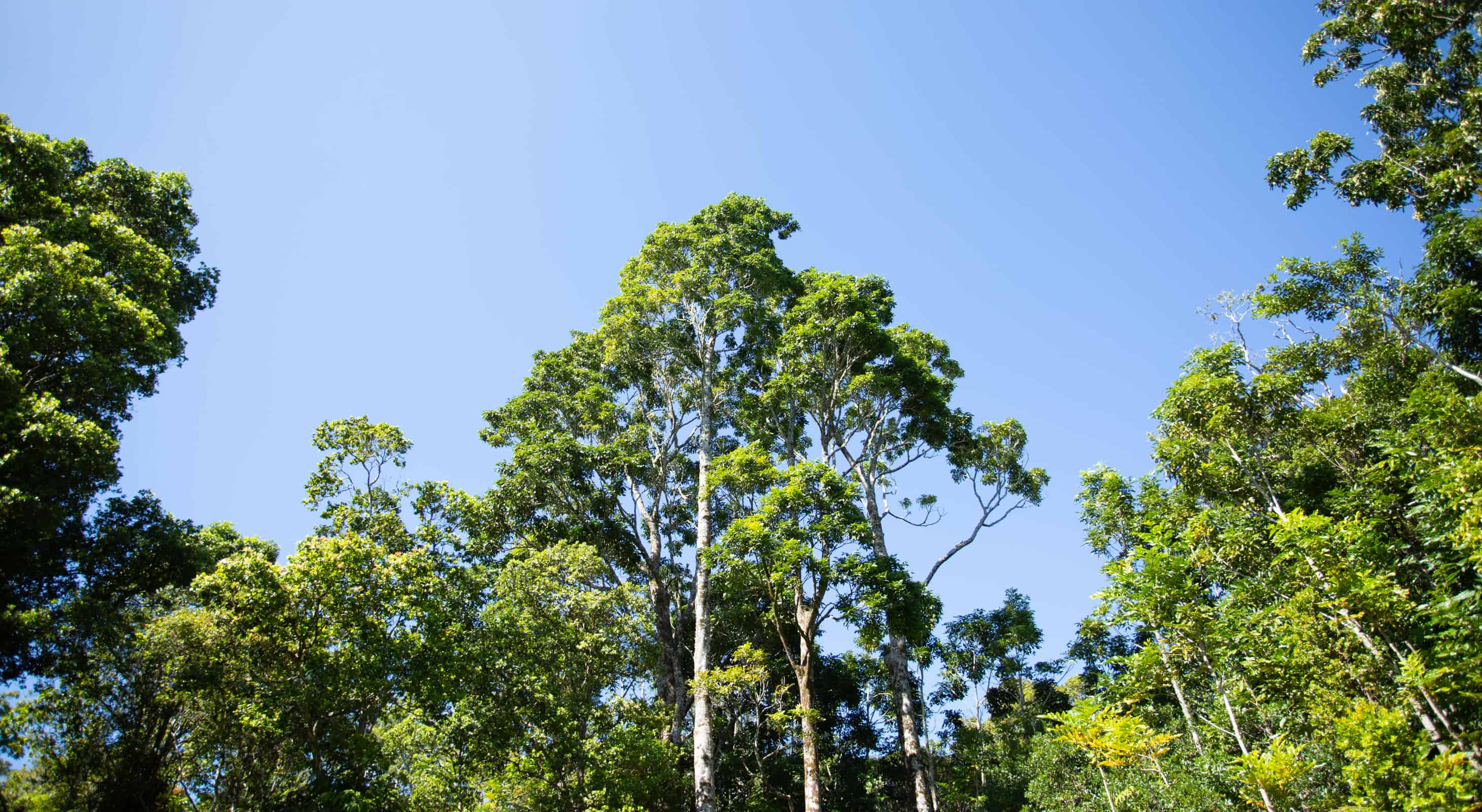 A large tree growing in a forest on Hawaii island