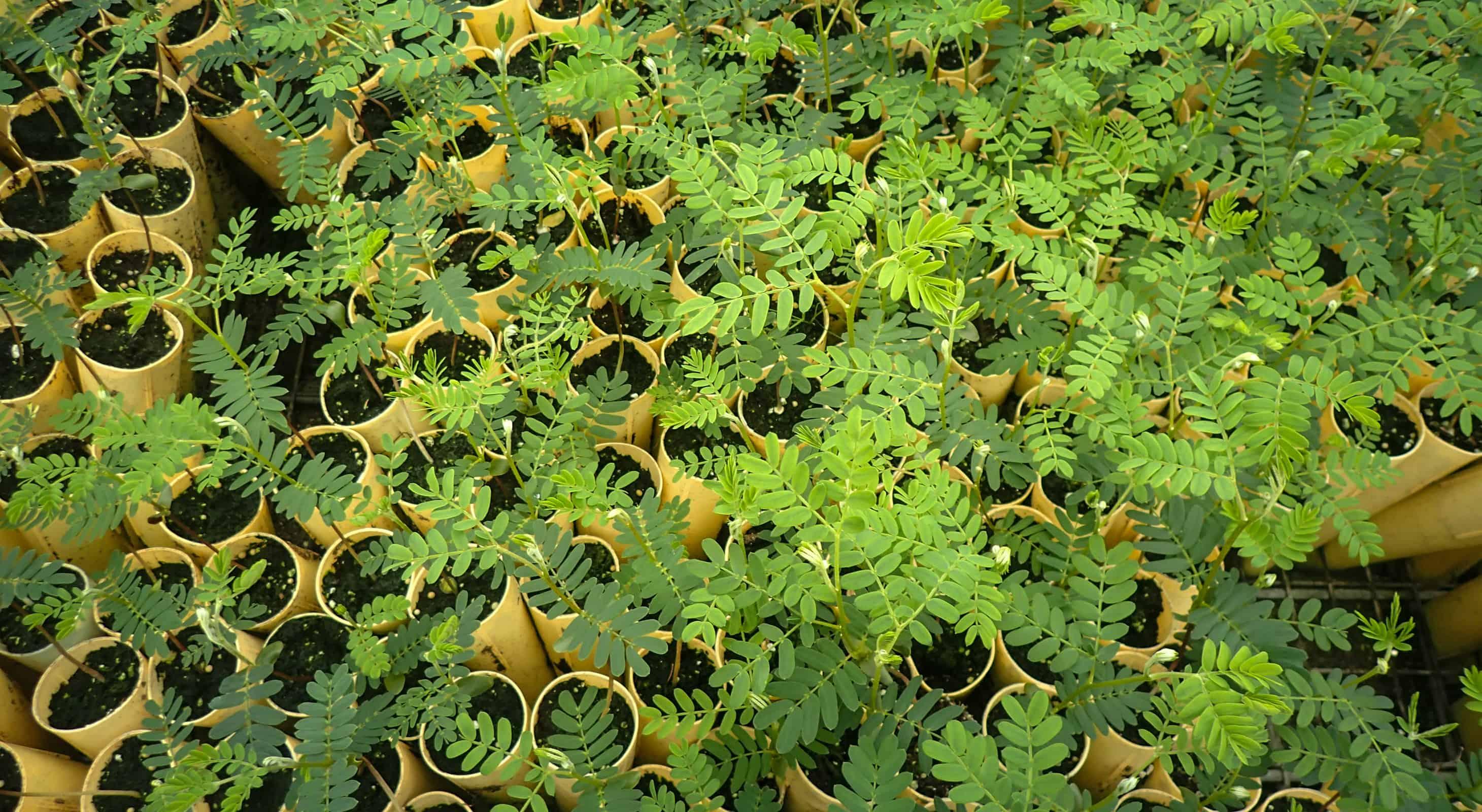 Koa seedlings