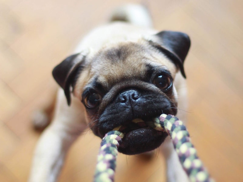Pug playing tug with a rope toy