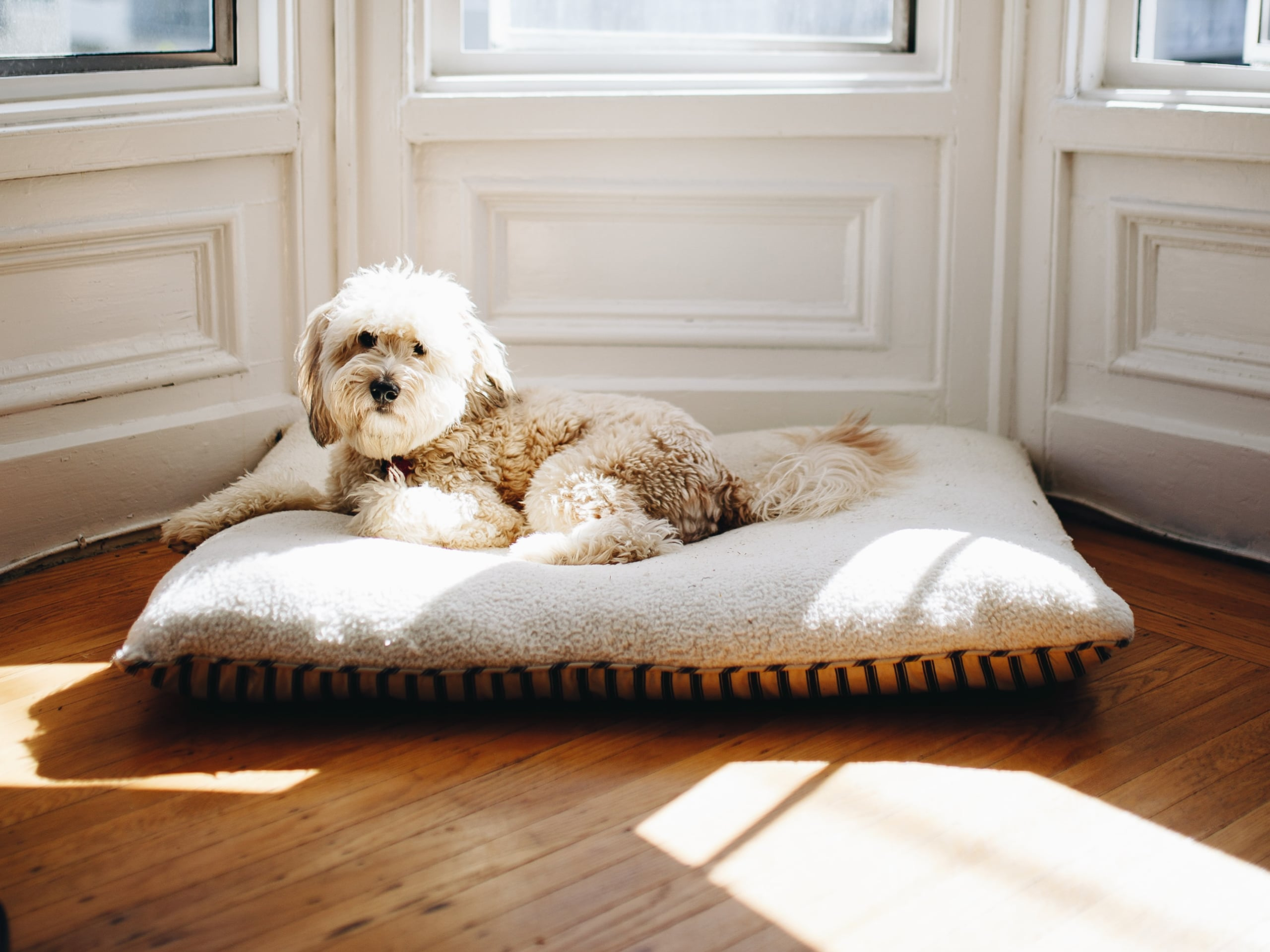 Fluffy golden doodle laying on a big dog bed in front of windows