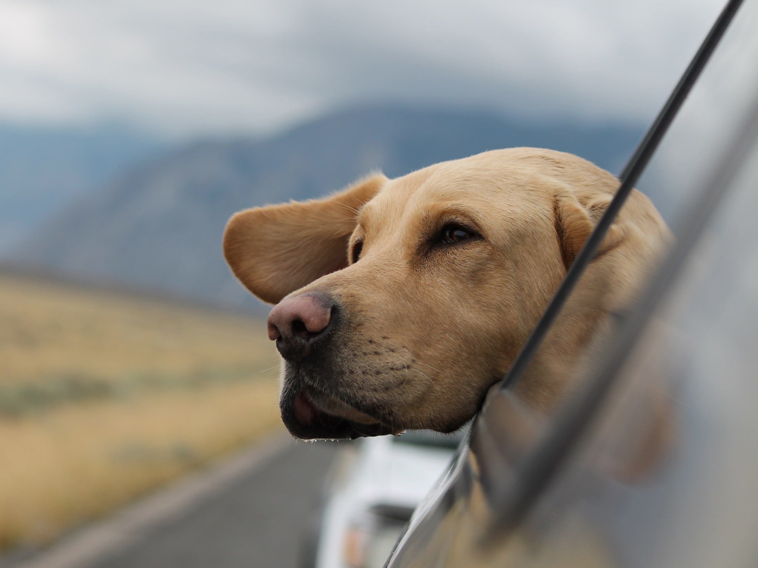 Older Labrador sticking his head out the window on a scenic drive