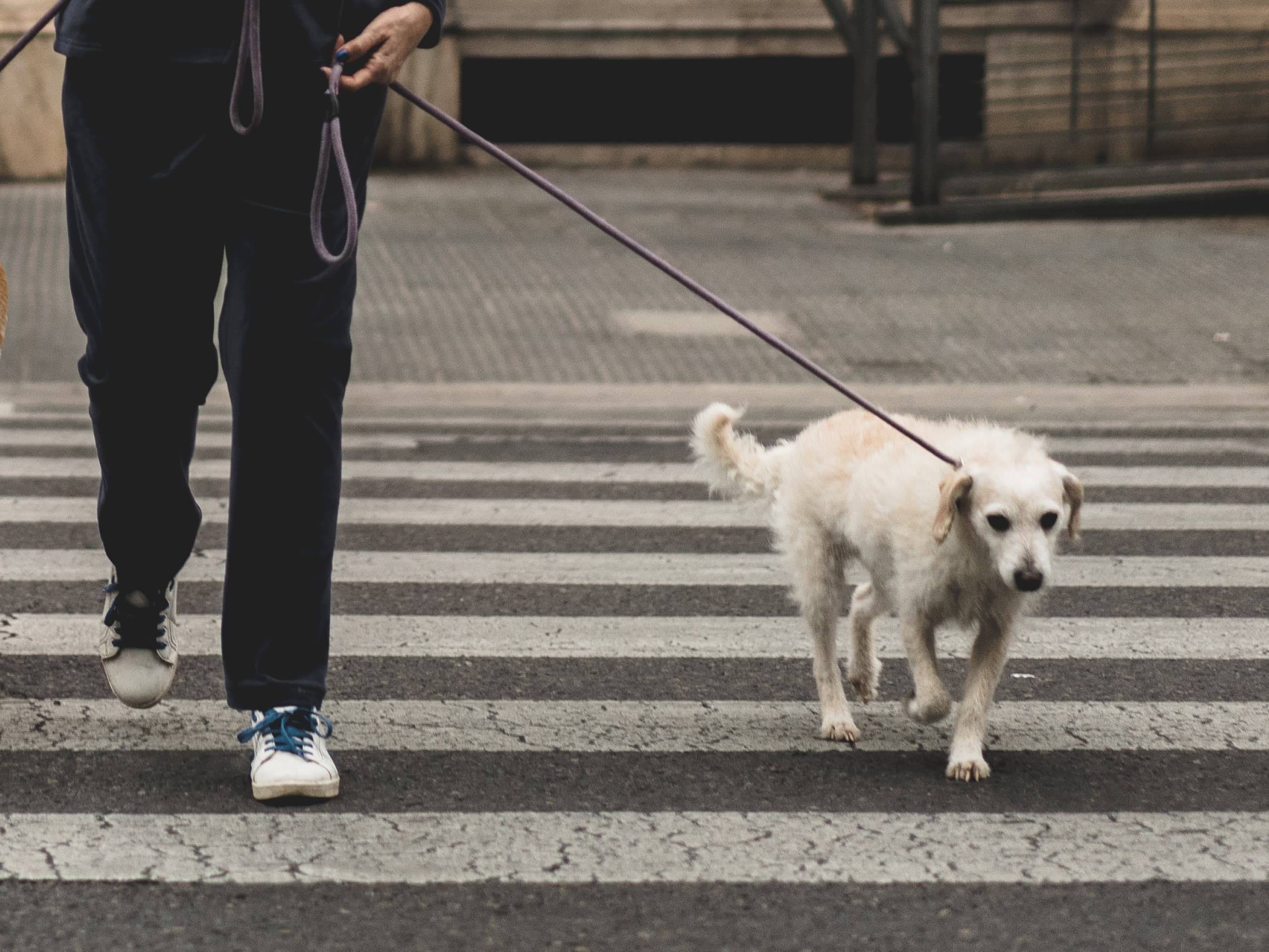 Dog being walked, crossing the street in the city