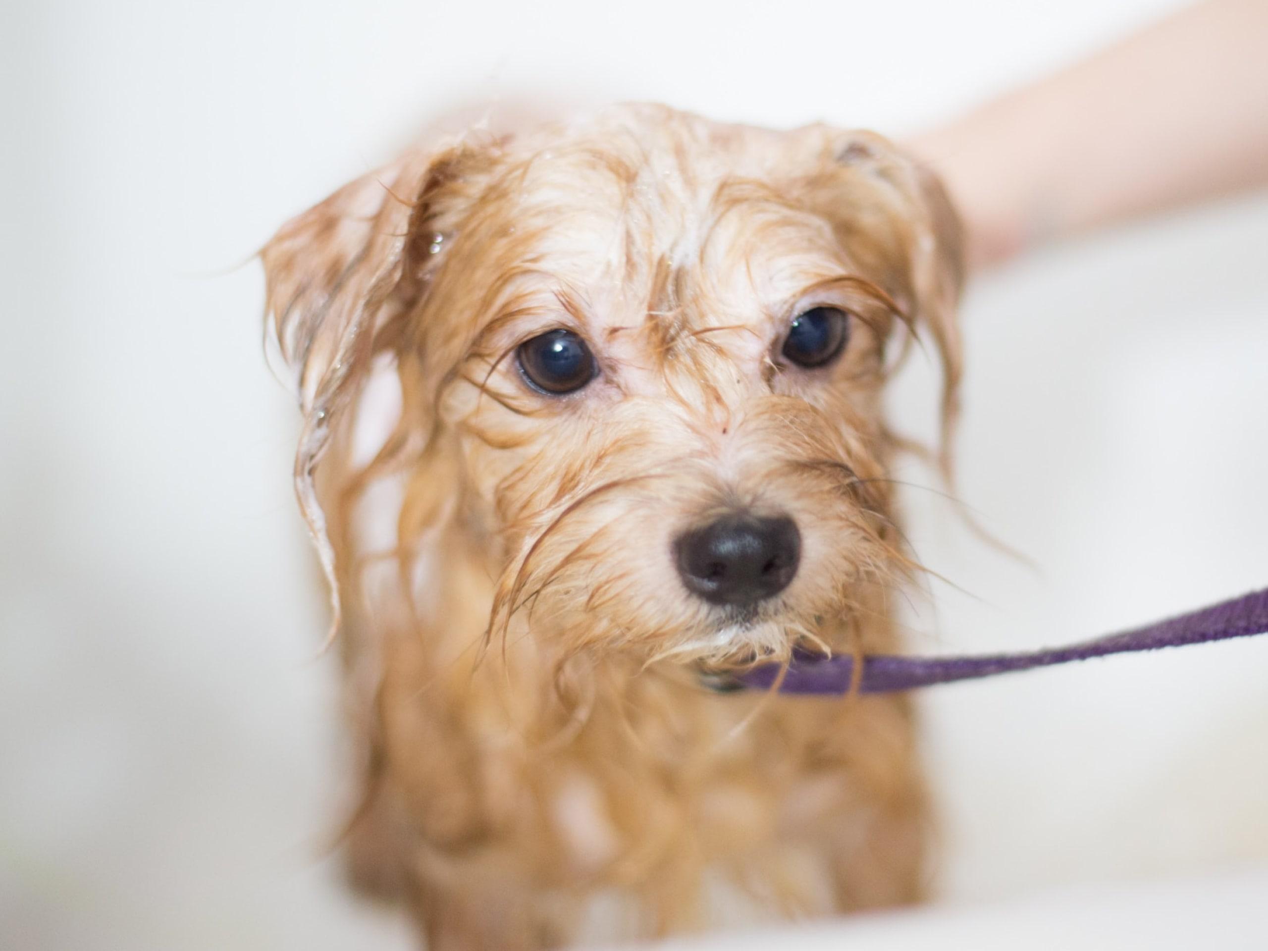 Dog sprayed by skunk getting a bath