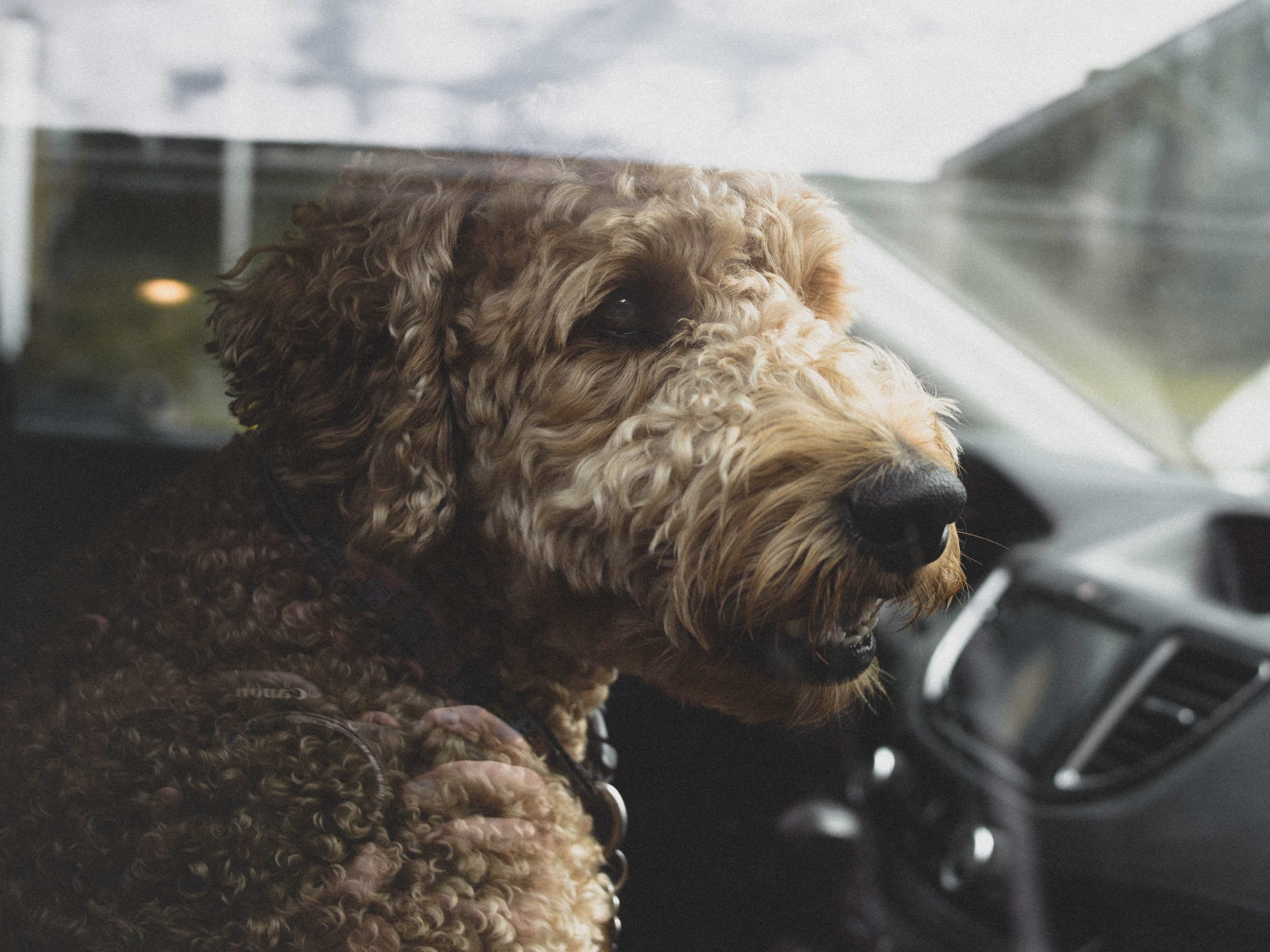 Goldendoodle riding in a car