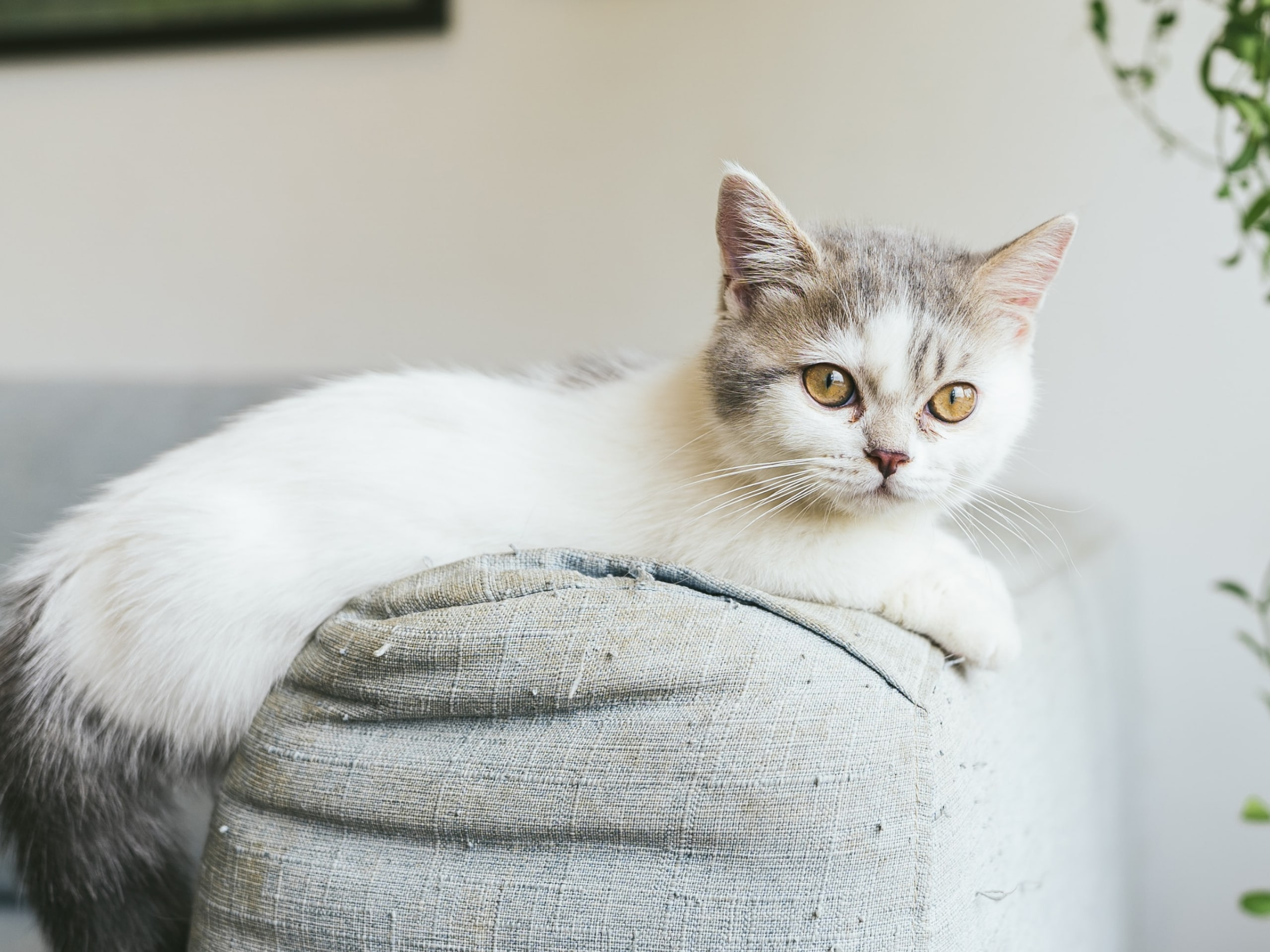 White cat laying on arm of couch