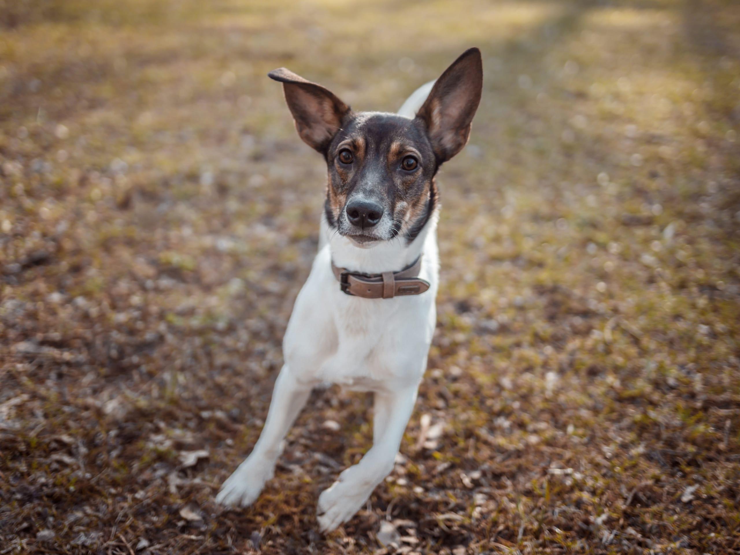 Lost Terrier dog found running in a field