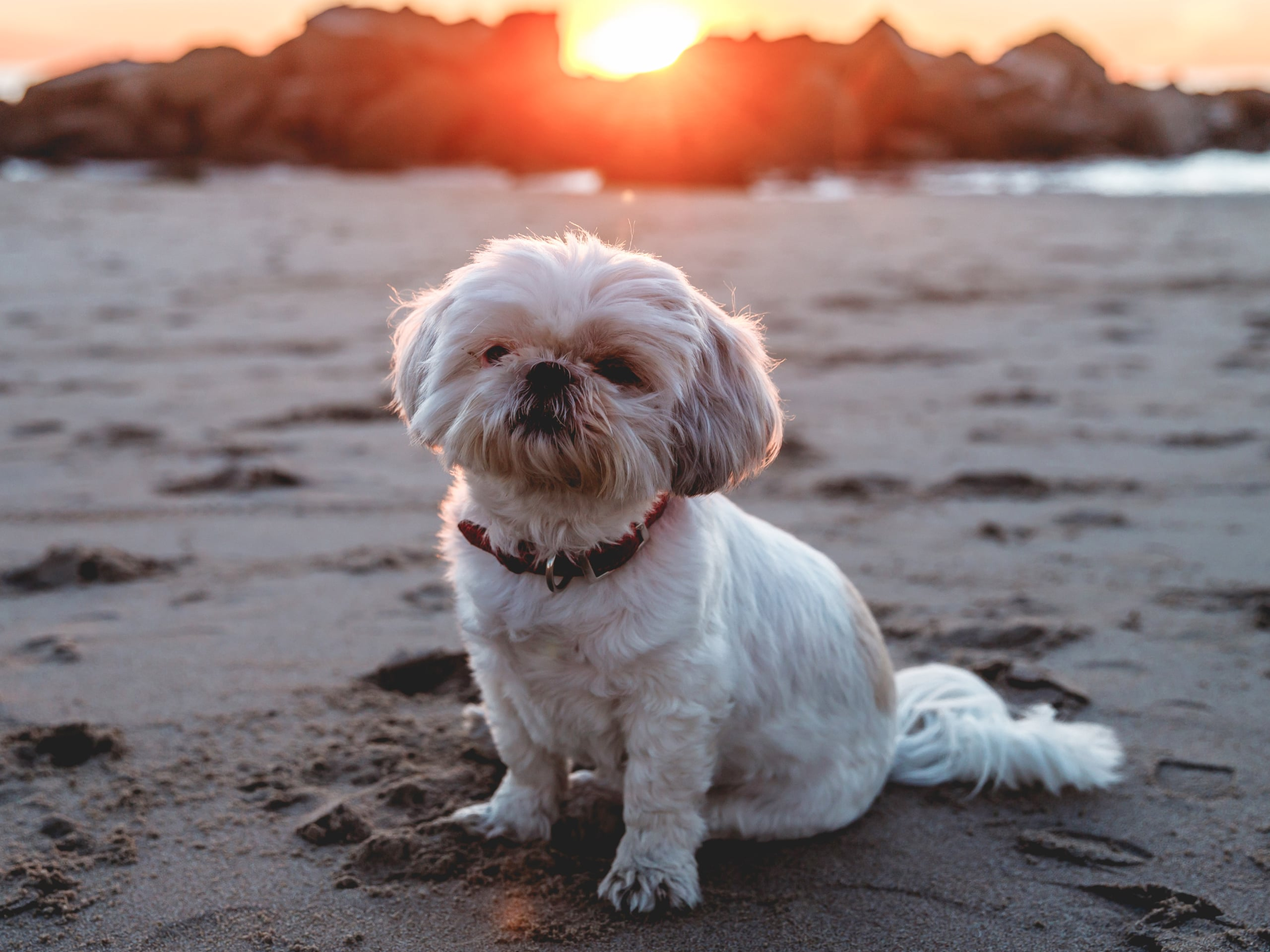 A vaccinated dog sitting on the beach during sunset