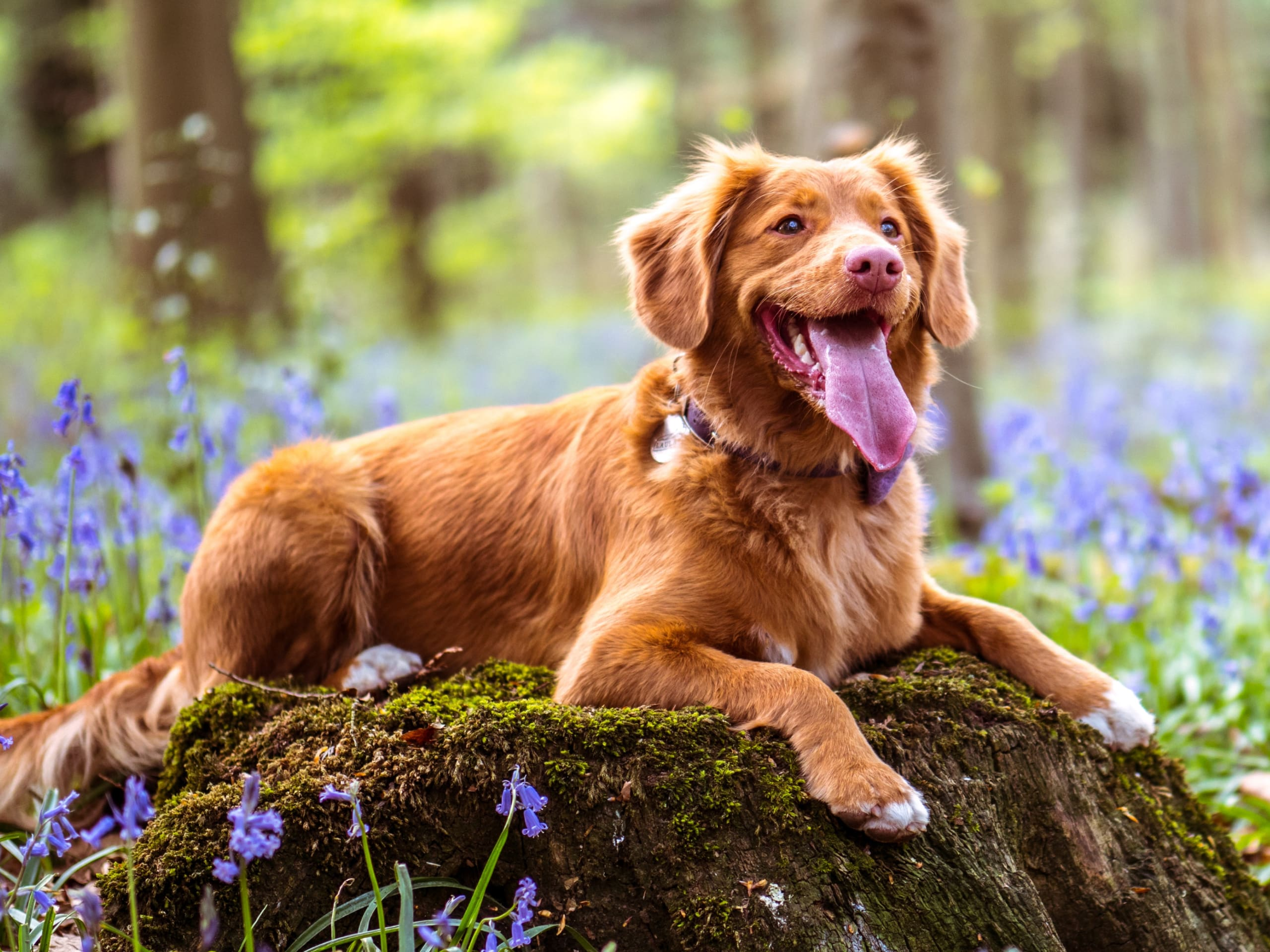 A happy dog laying on a moss-covered stump in the woods.