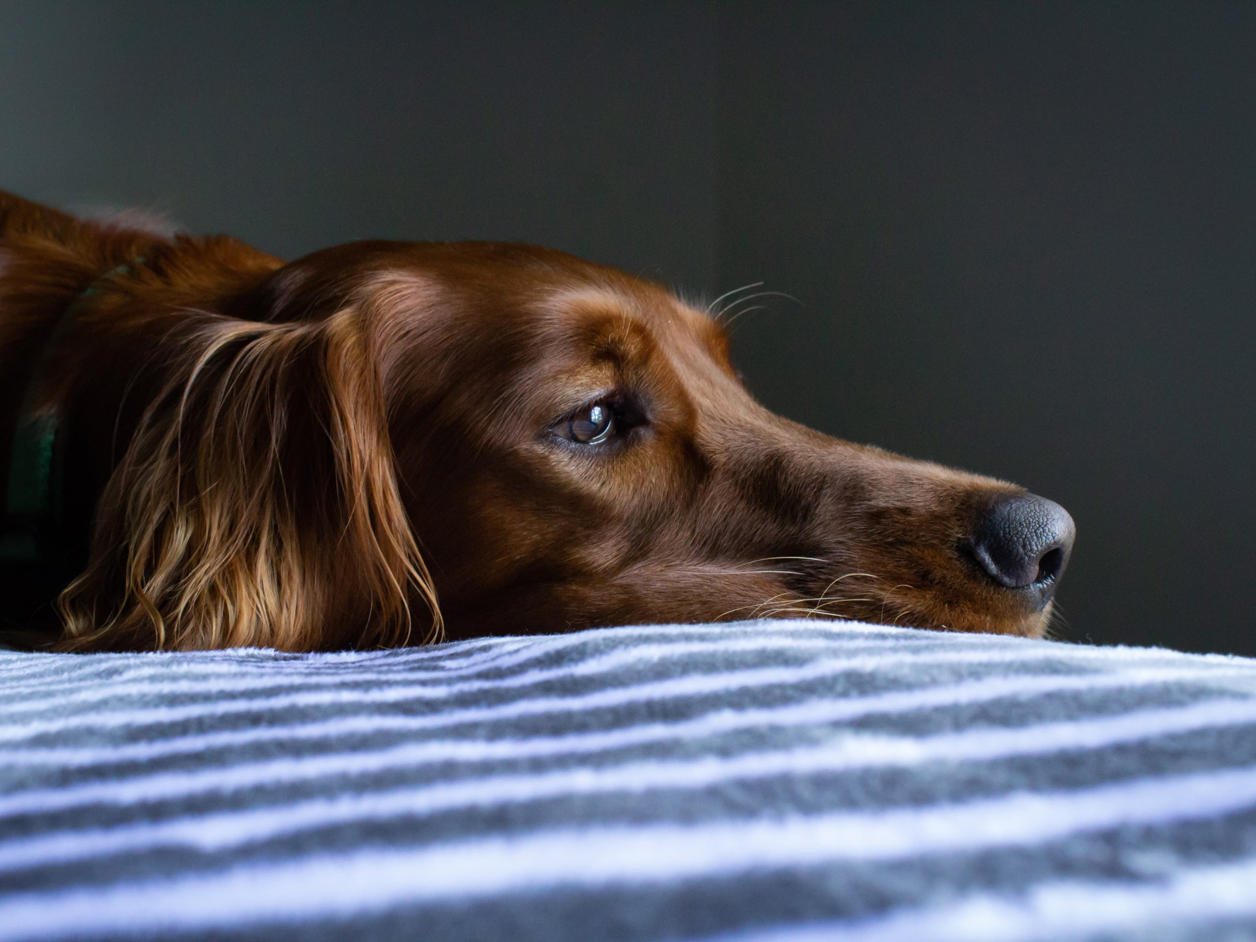 A close-up of a dog laying his head down on the cushion.