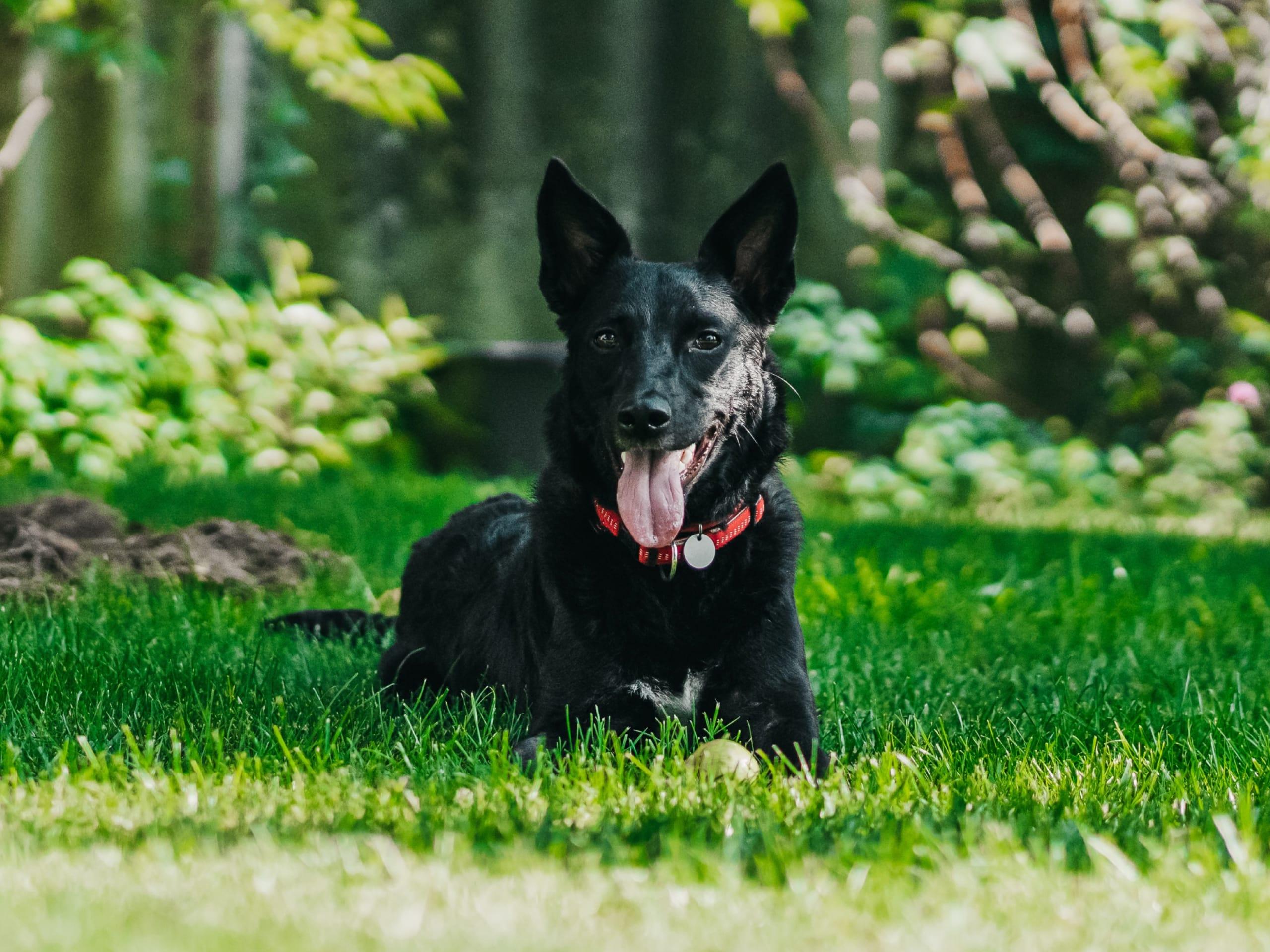 Happy black dog in grassy field
