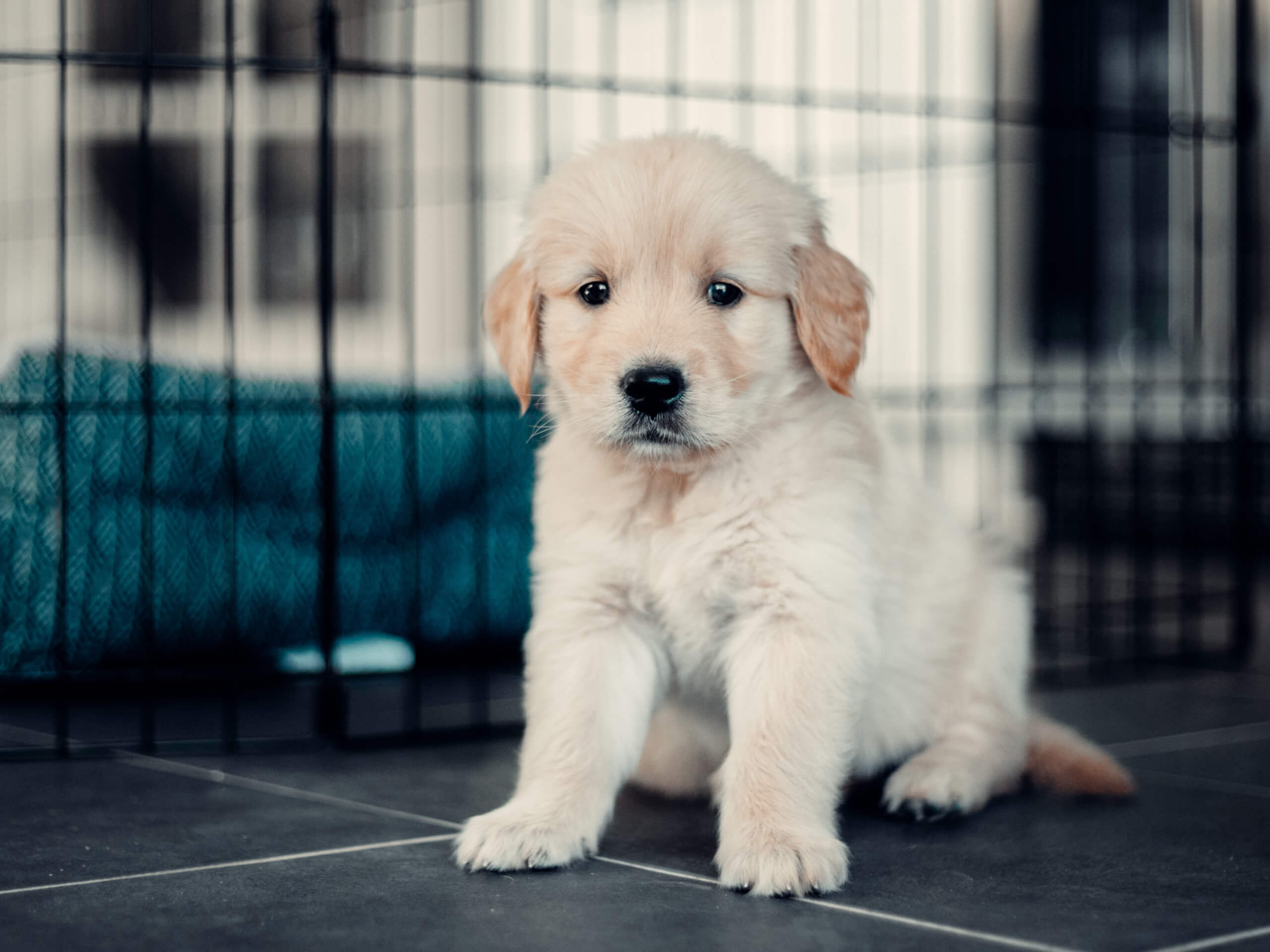 Labrador Retriever puppy learning to get crate trained