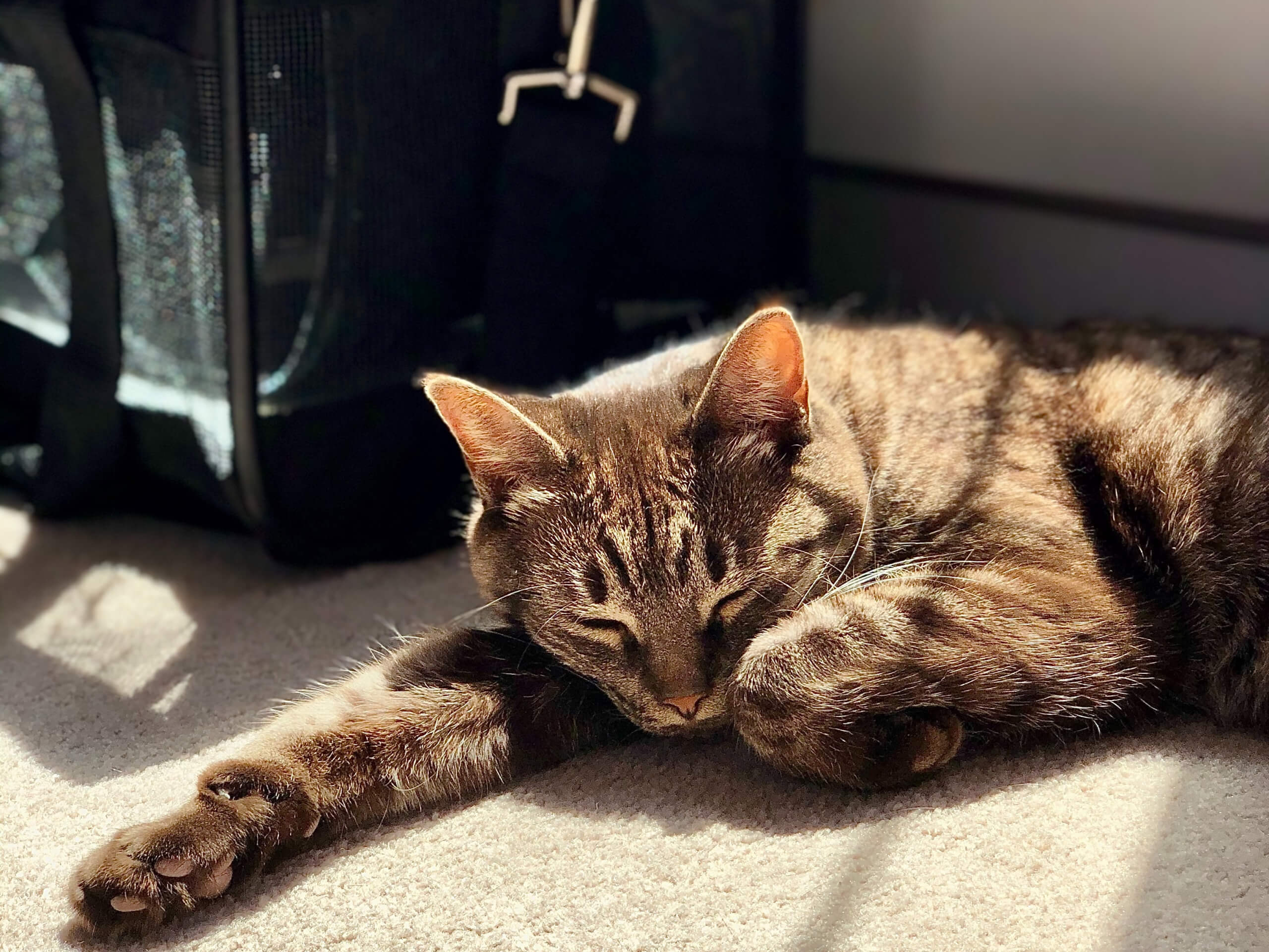 Cat relaxing in the sunshine before taking a trip in the car
