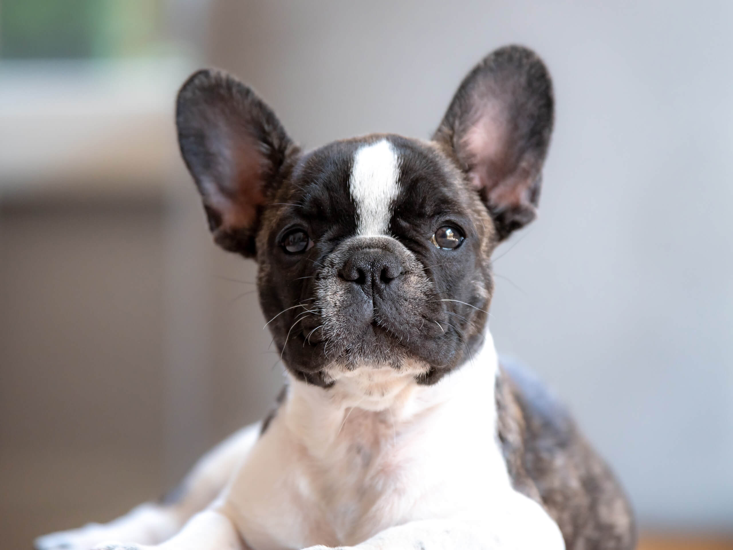 French Bulldog puppy learning to potty train