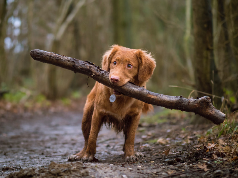 A young dog on a muddy trail carrying a large stick with loose bark in his mouth.