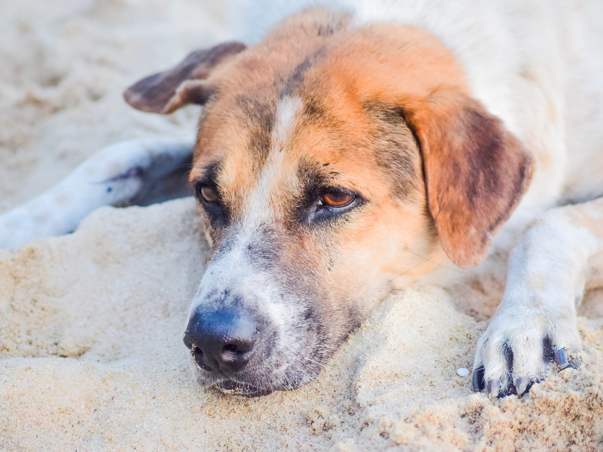 Dog laying in the sand on the beach