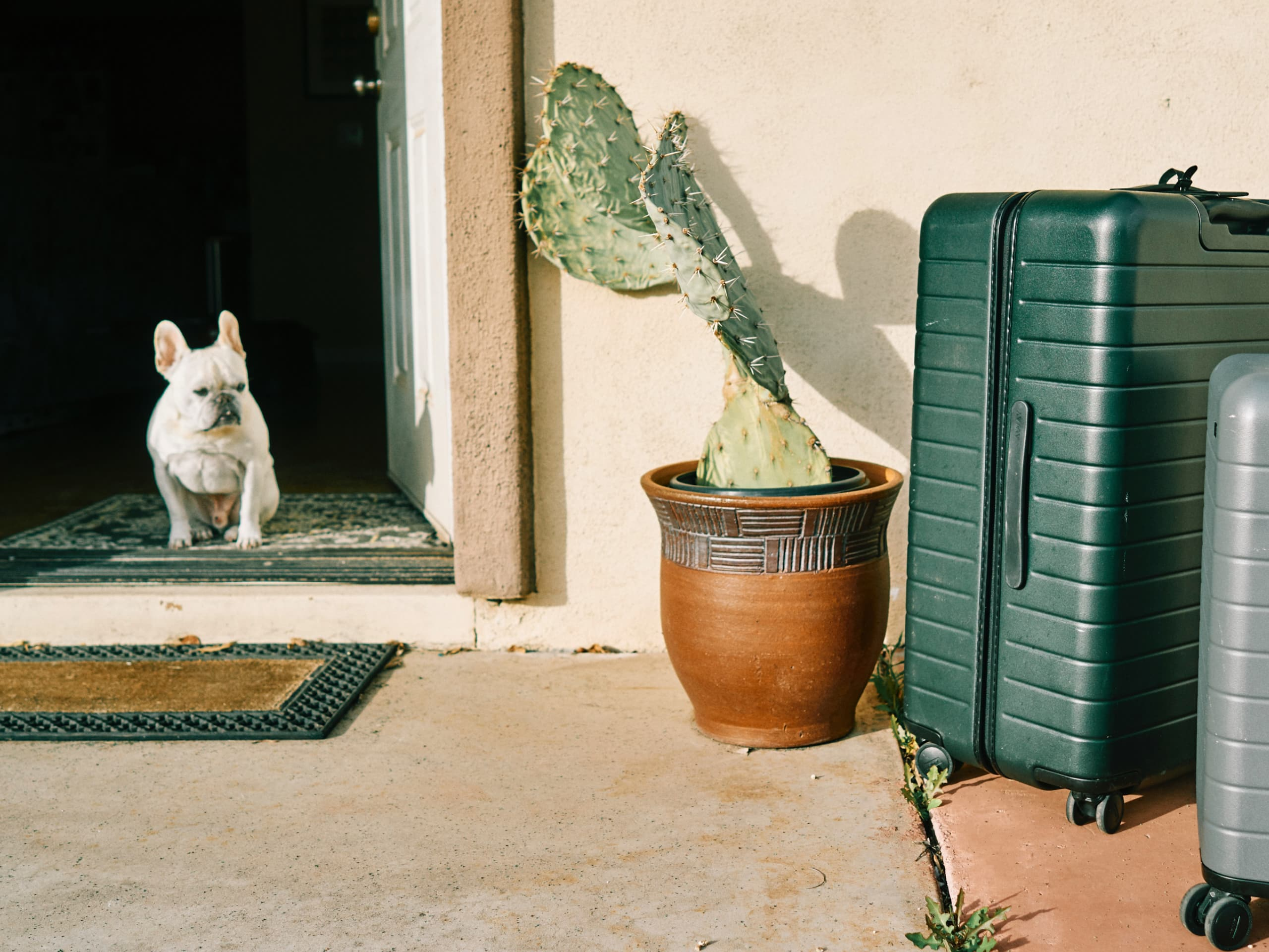 White French Bulldog standing next to a suitcase