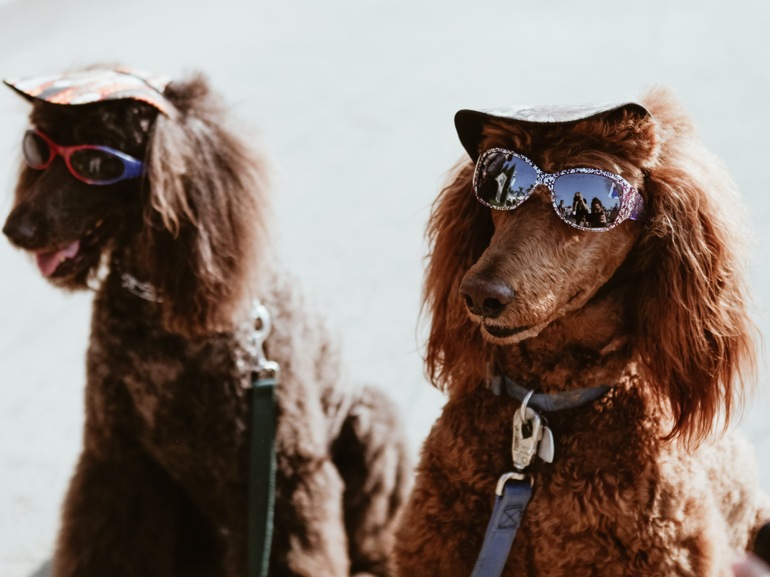 Two dogs enjoying the sunshine in dog hats and sunglasses, their collars and ID tags.