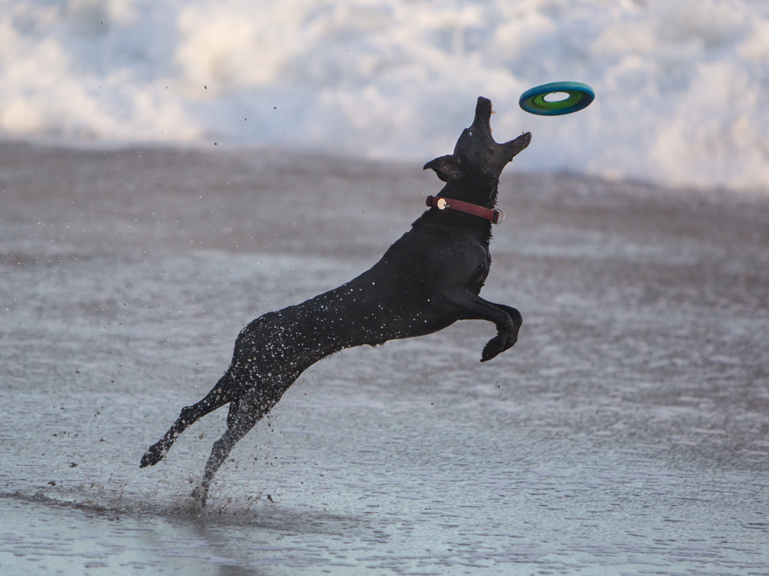 A dog leaping for a frisbee on the beach wearing a collar and ID tag.