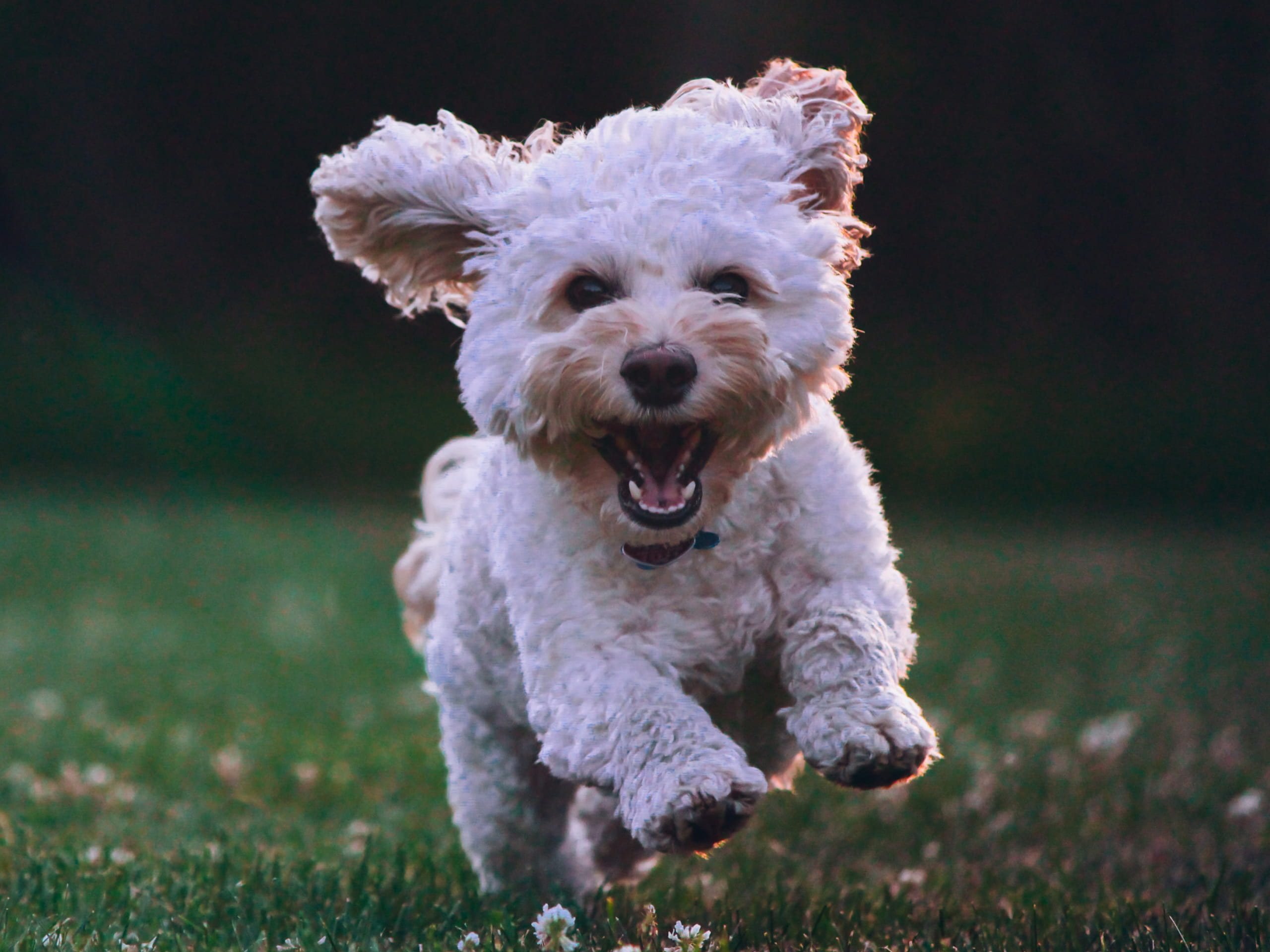 A small dog running around in the grass, mid-stride, with the front two paws in the air.