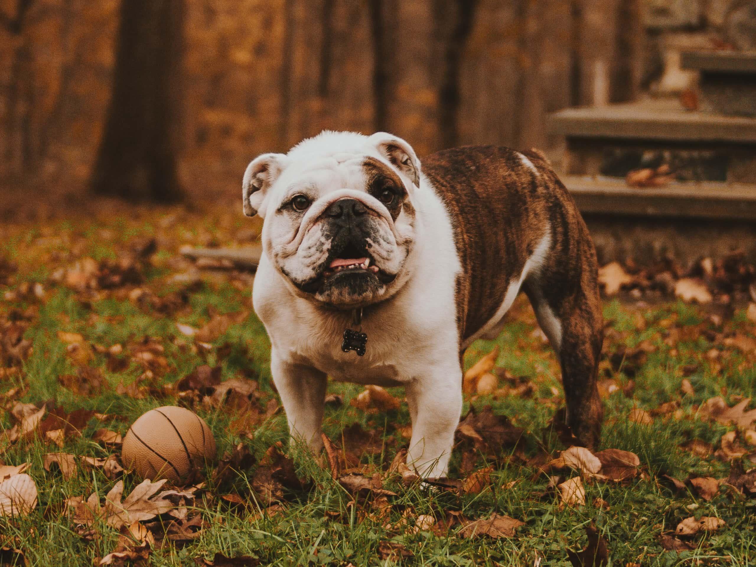 A bulldog walking outside