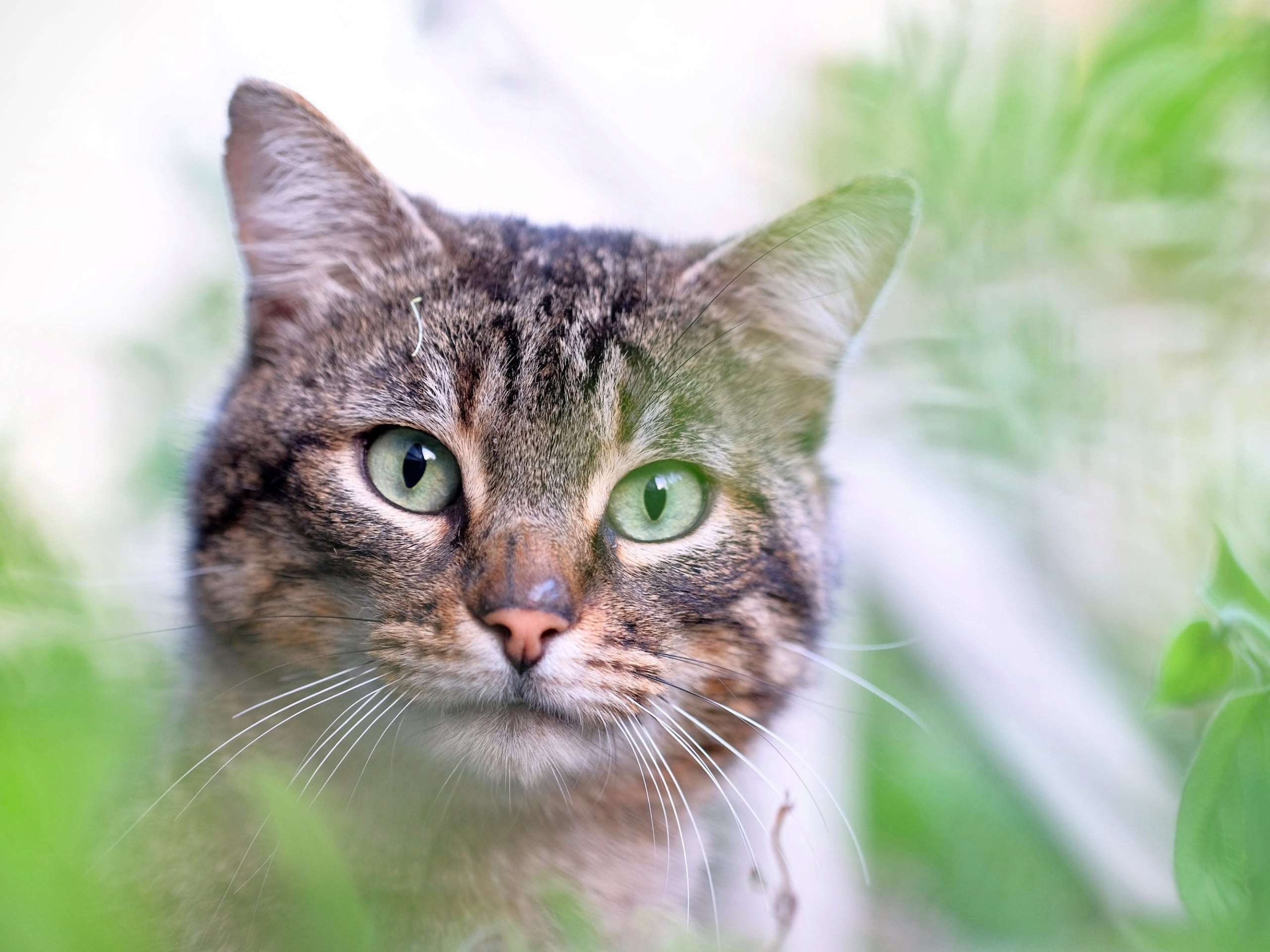 A close-up of a cat's face as it walks through several basil plants.