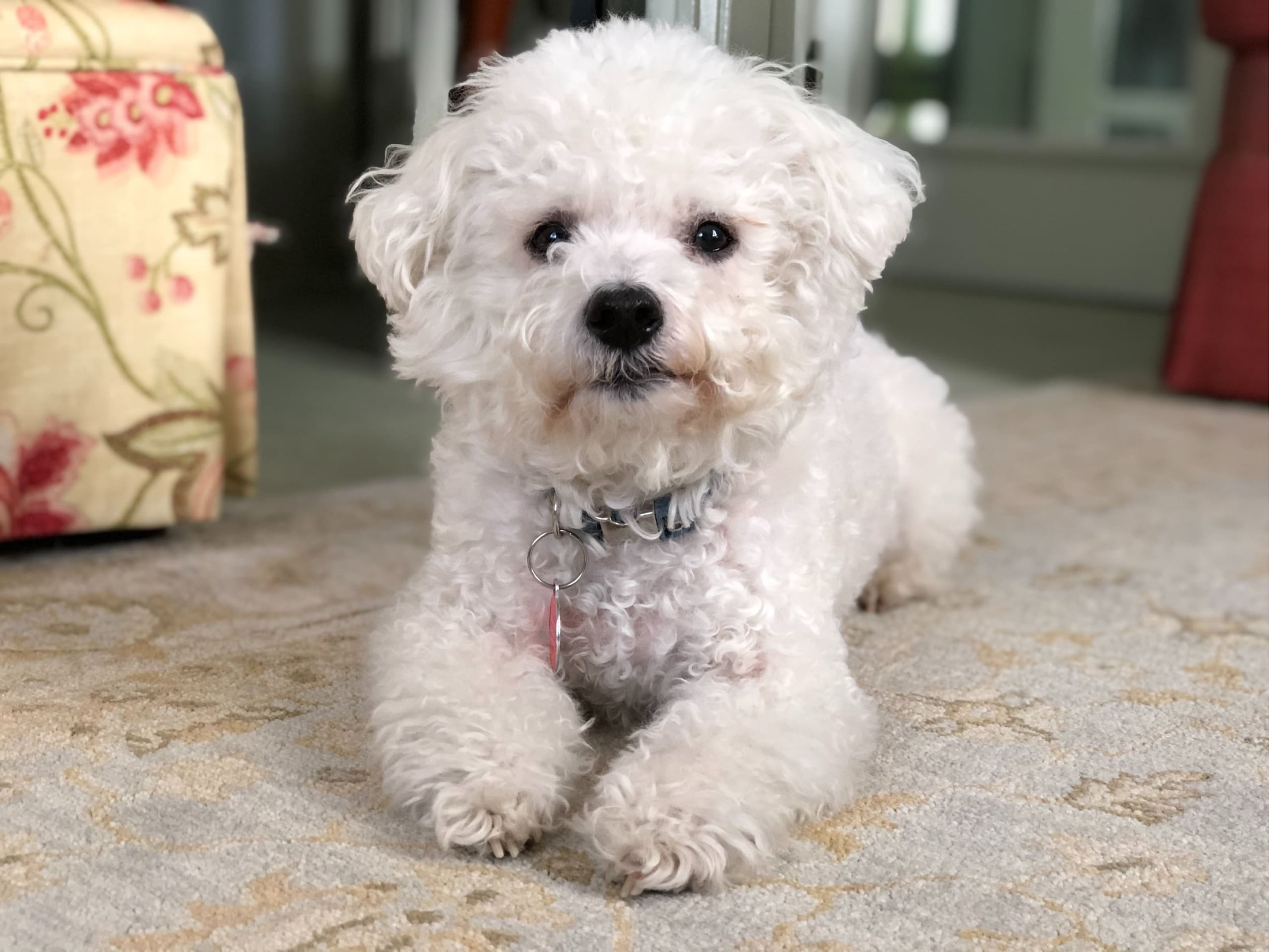 A small dog laying down on a carpet in a small room with its head perked up, wearing a collar and ID tag.