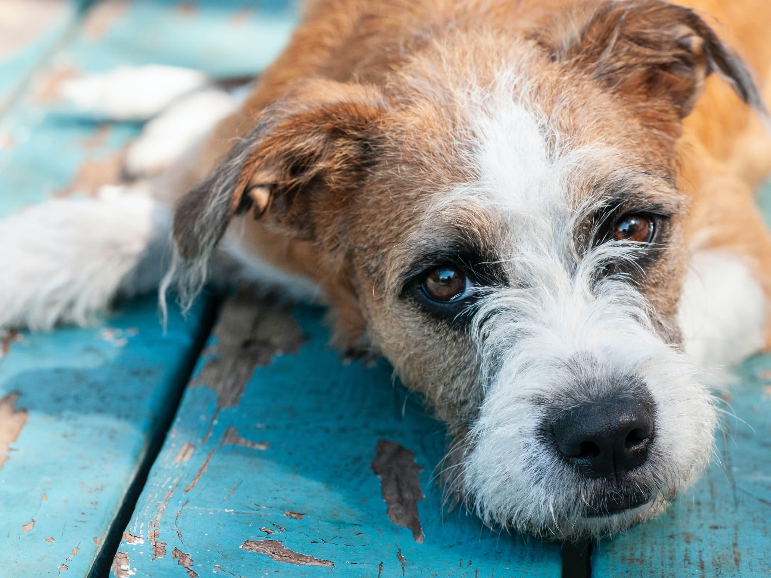 Sad dog laying on deck