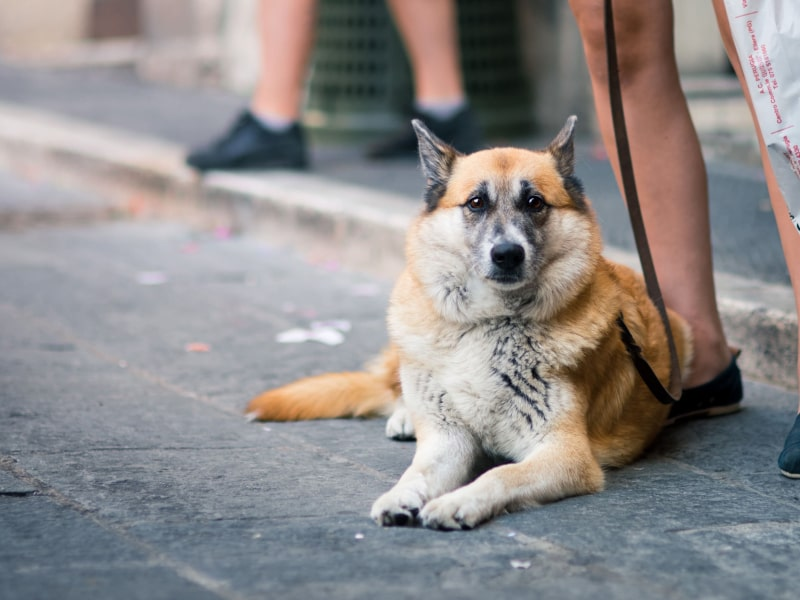 A dog laying down on the pavement while on a leash.