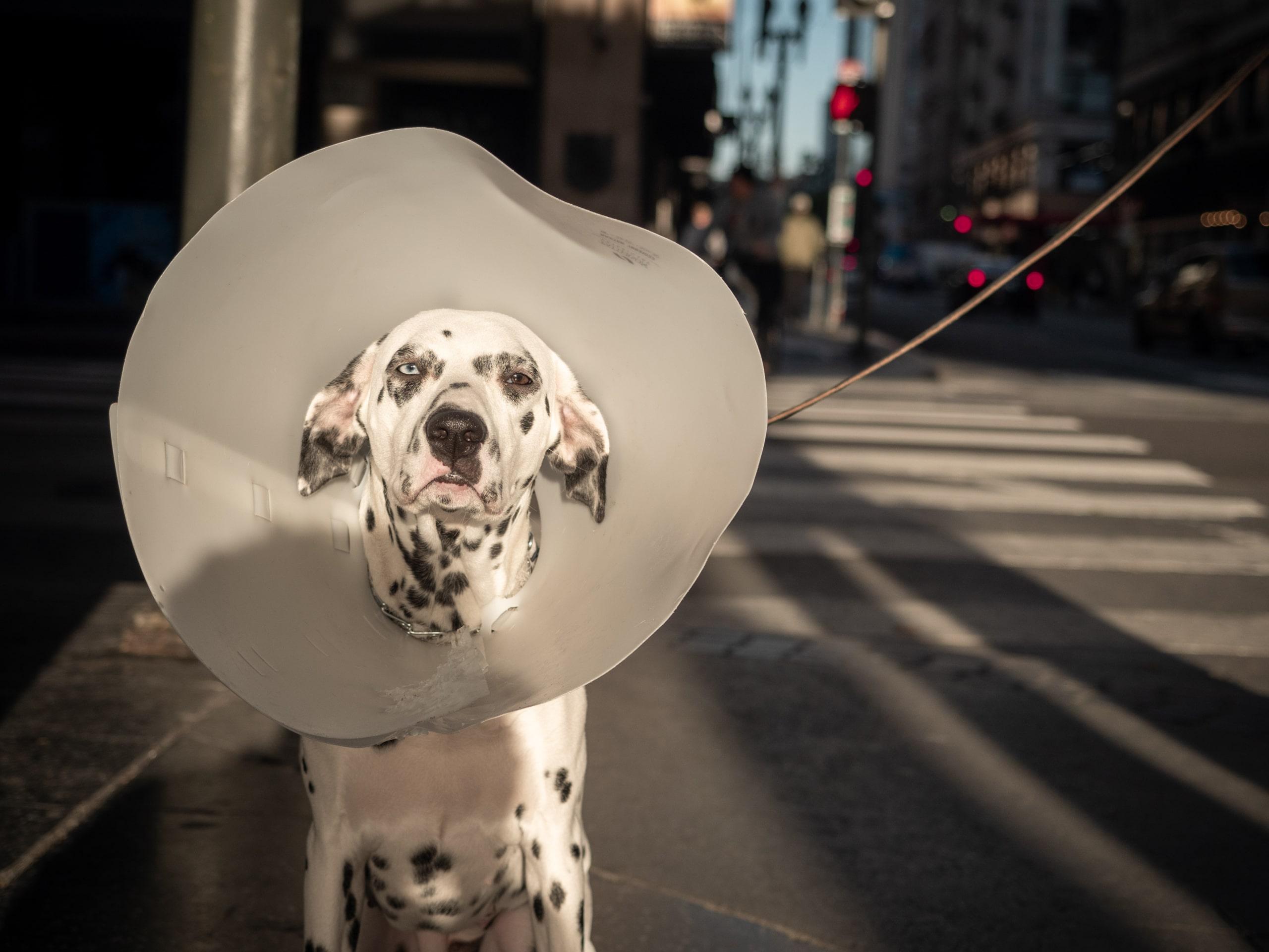 Dog in an Elizabethan collar