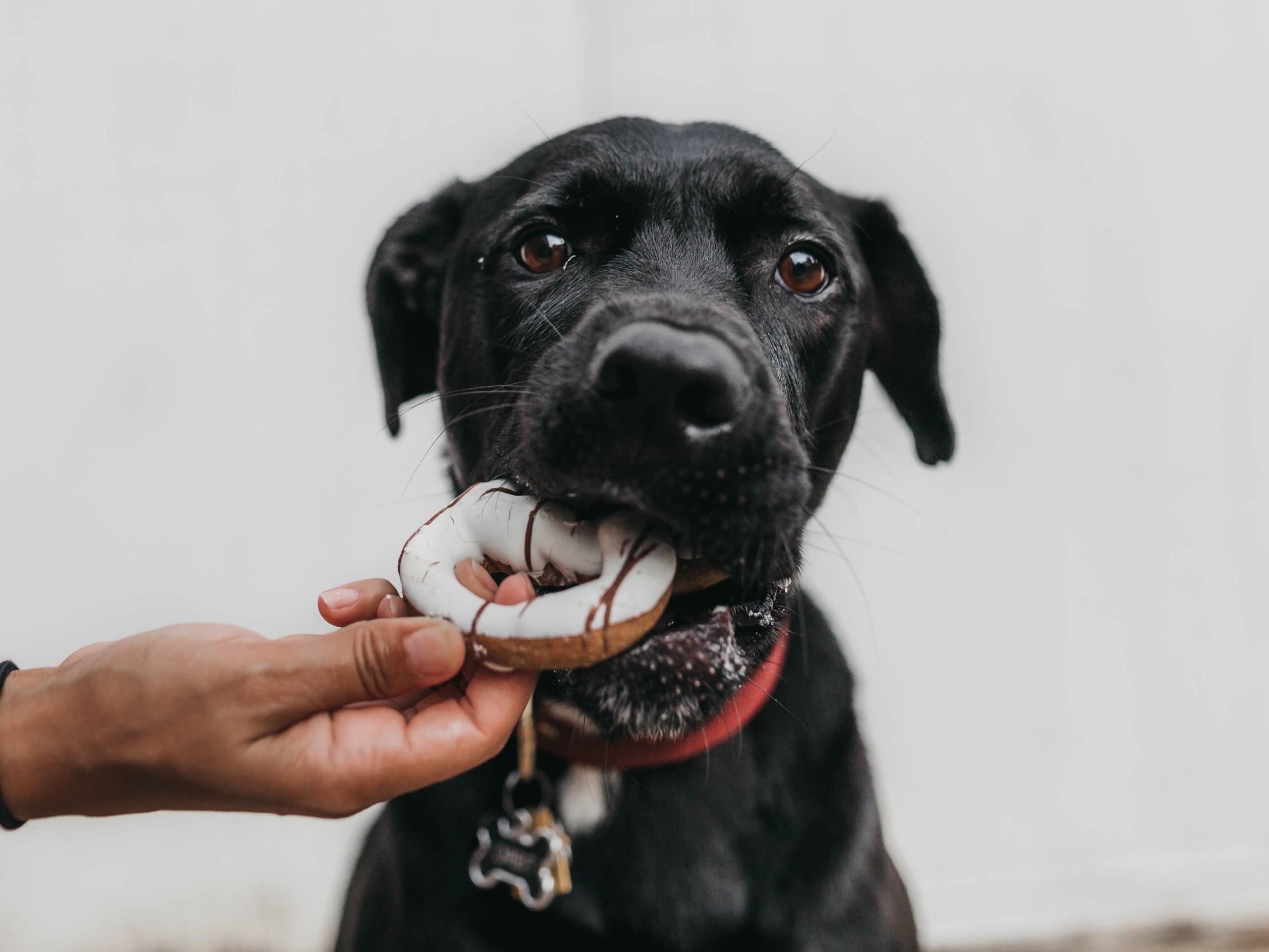 Black dog eating a dog friendly donut