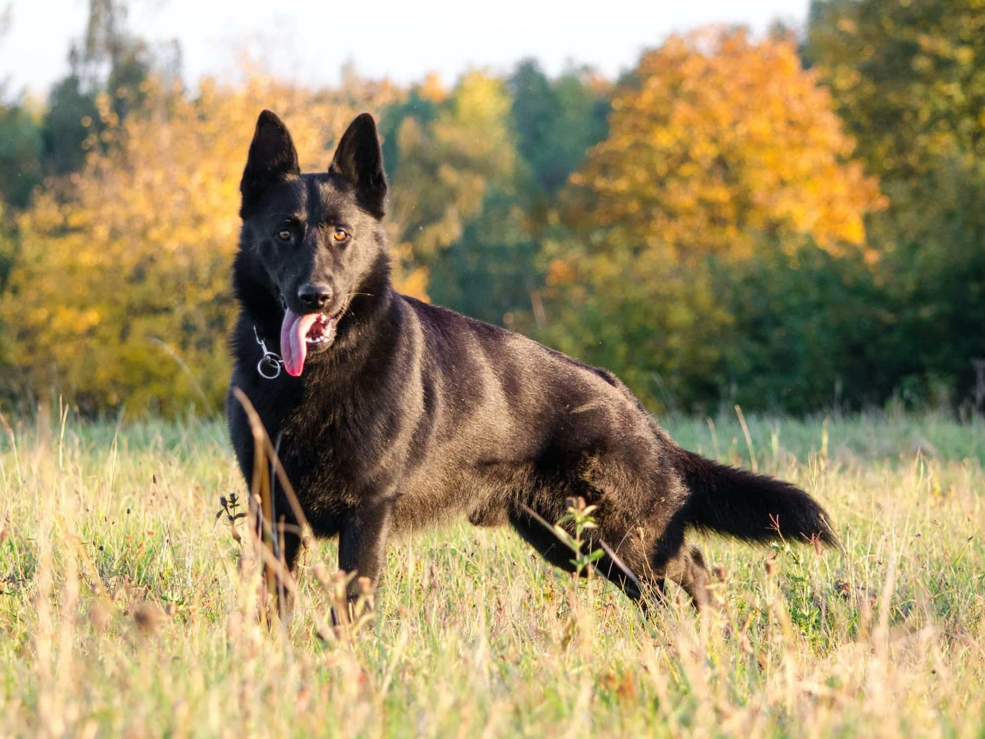 A black dog standing in a field by themself waiting for their pet parent to play with them.