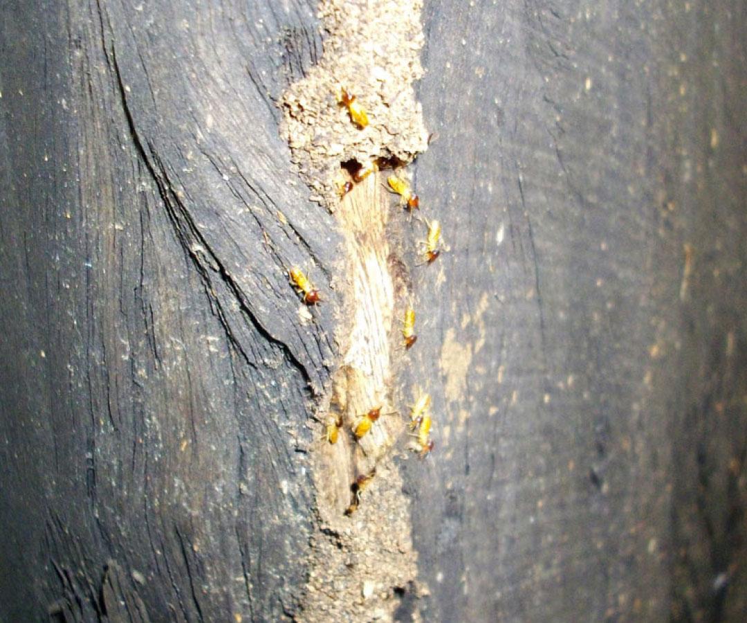 Termite trail on timber house stump  (Nasuititermes Spp.)