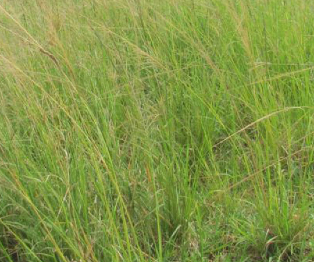 Giant Rats Tail Grass