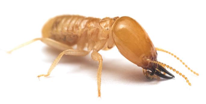 a close up image of a termite