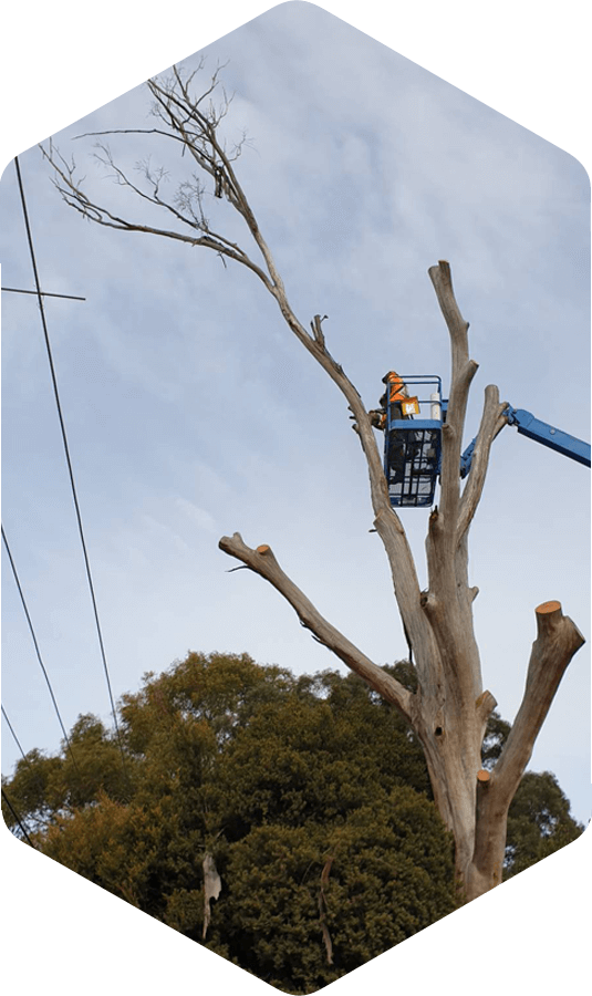 Worker in a cherry picker in the process of removing a tree