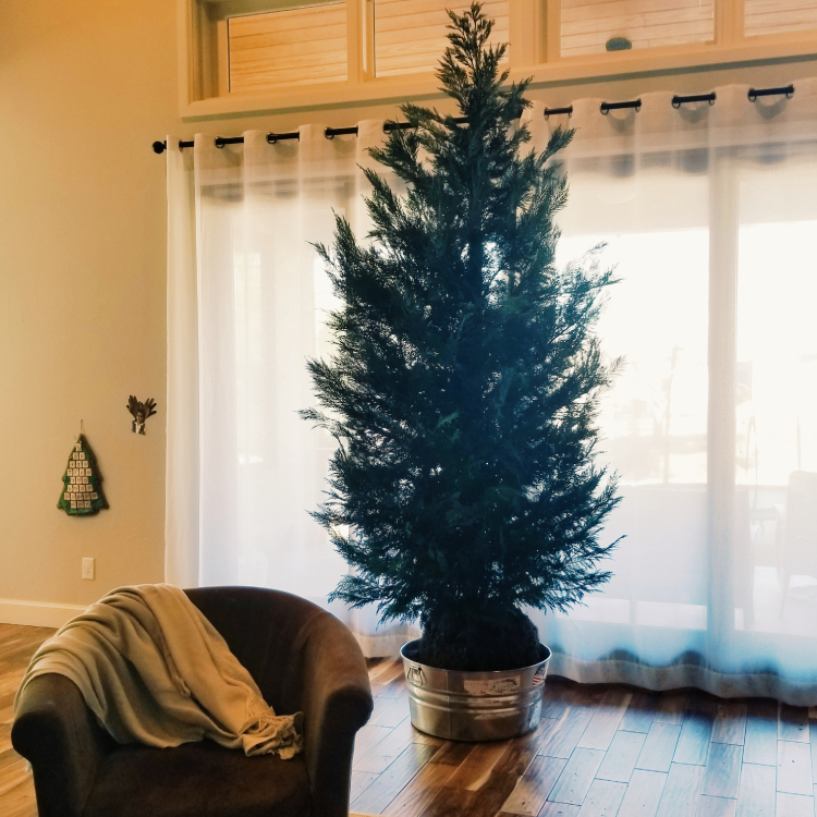 This premium sized living Christmas tree stands at 9' tall in a family home just waiting to be decorated during Christmas 2018.