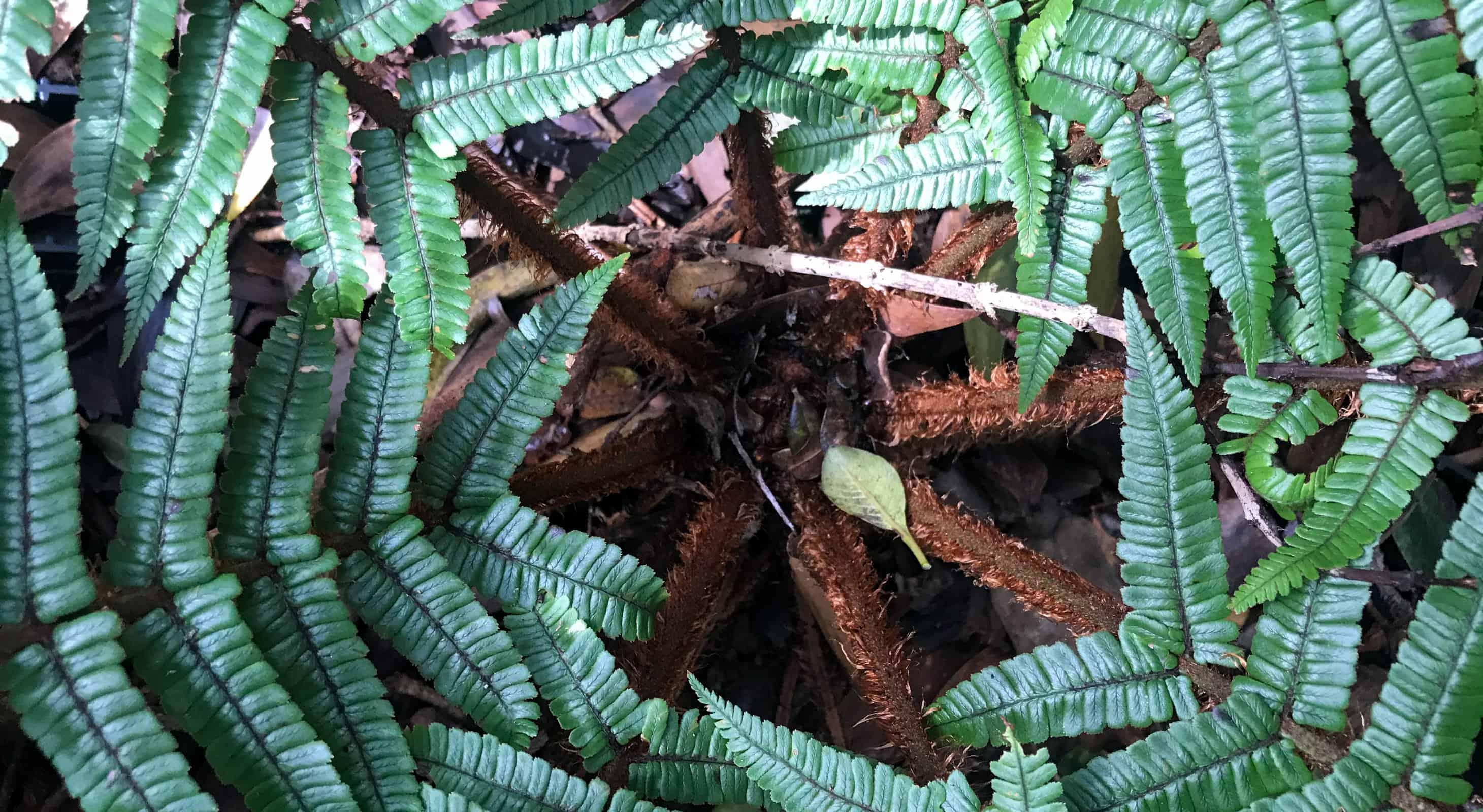 Top view close up of a hawaiian fern