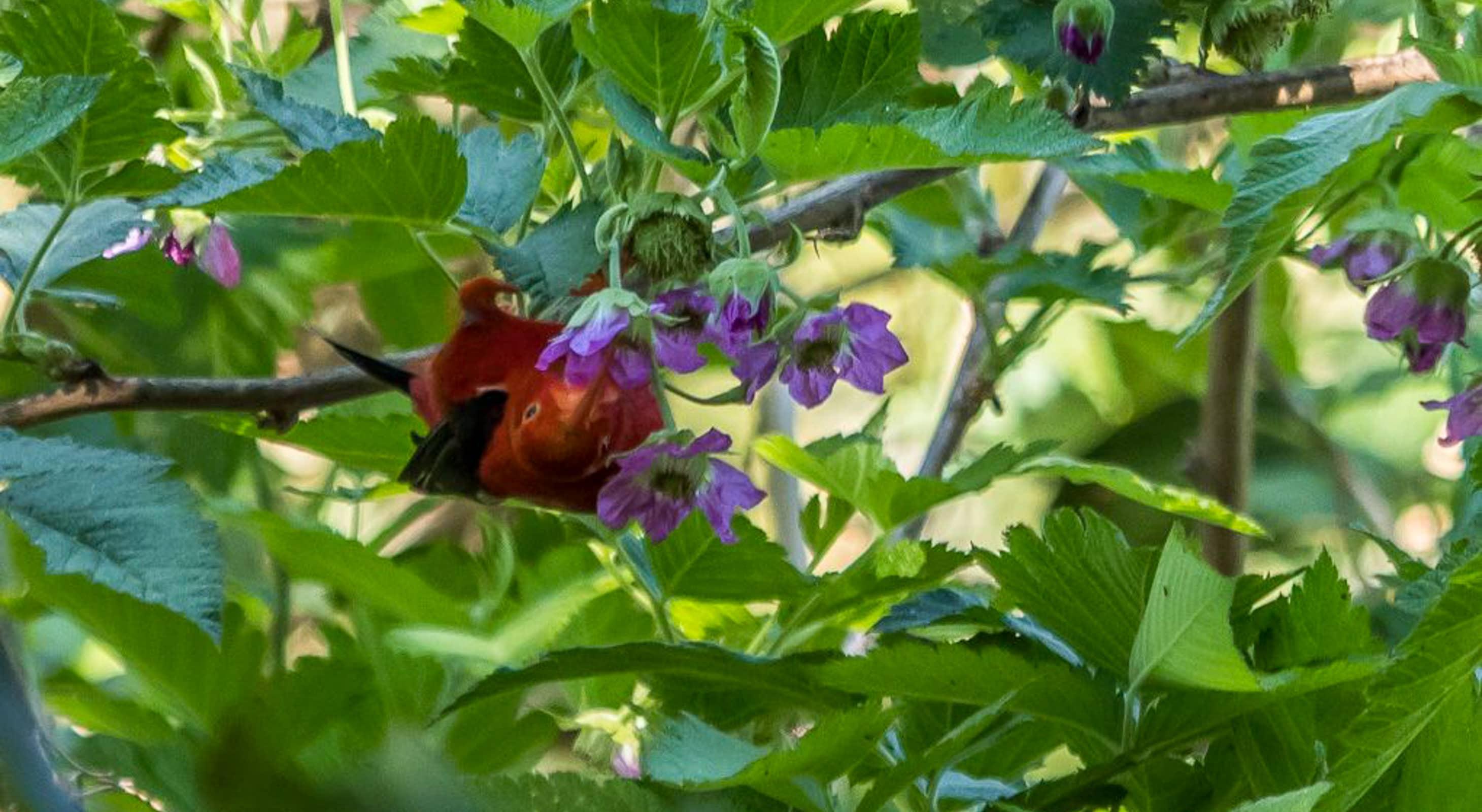Iʻiwi feeding on berries
