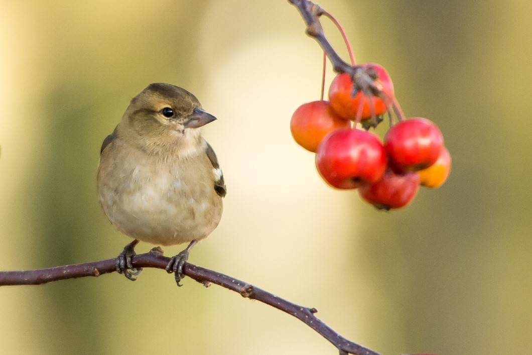 Bird on a branch staring at fruit