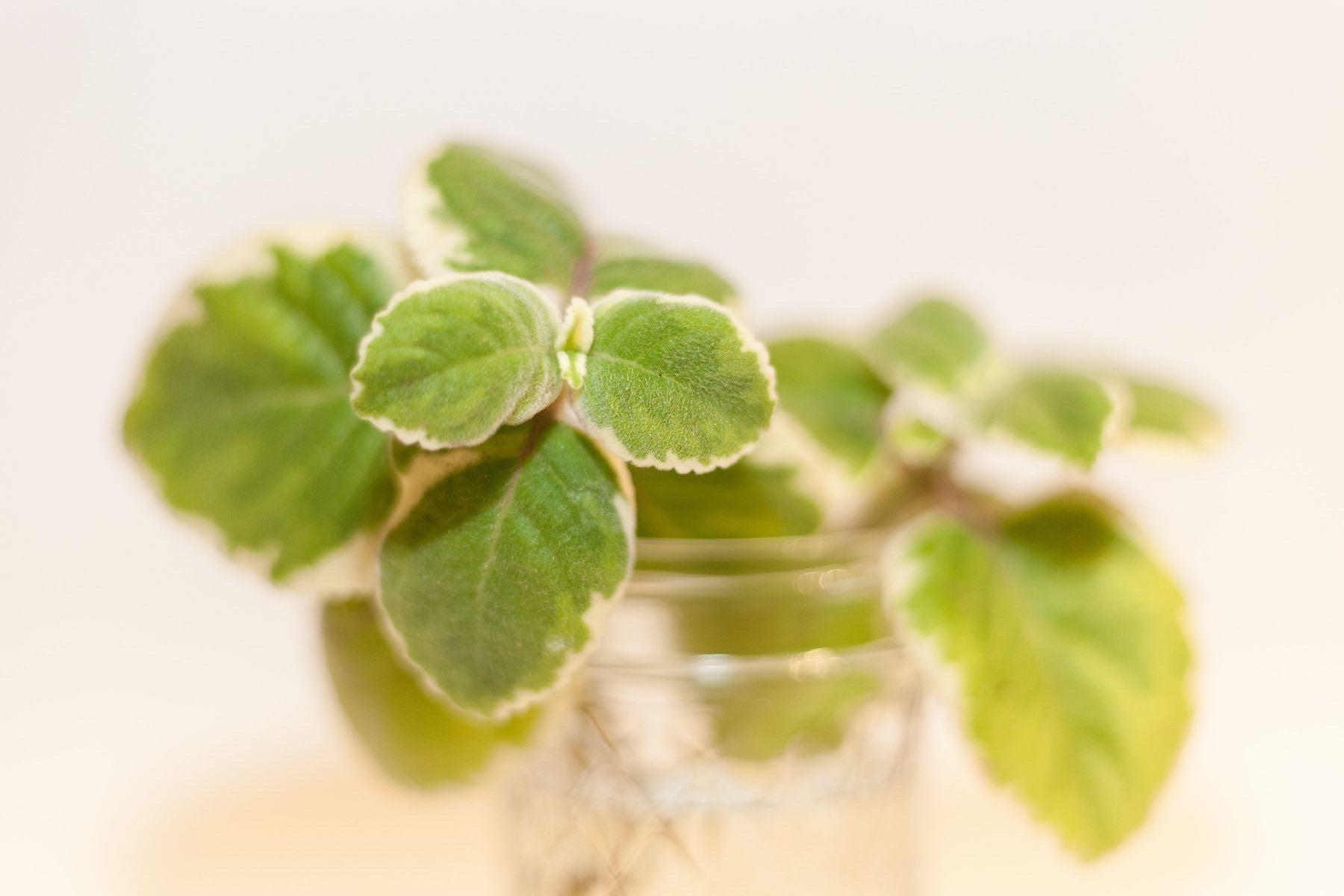 Plants in glass mason jar.