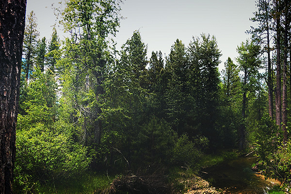 Graeagle Forest