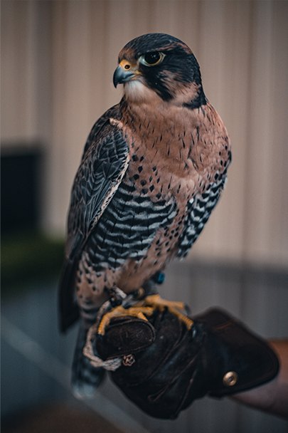 Wildlife Xclusion is a wildlife abatement company that provides REGIONAL ANIMAL CONTROL & WILDLIFE REMOVAL. Our services include Humane live trapping, Dead animal removal, Sanitization, Odor Control, Attic Restoration, Crawl Space Restoration, and Constructional Repair as well as Bird Abatement using falconry in the Sevierville area, severe county, Knox county, Knoxville area, Pigeon forge, Gatlinburg, and the surrounding smoky mountain area.