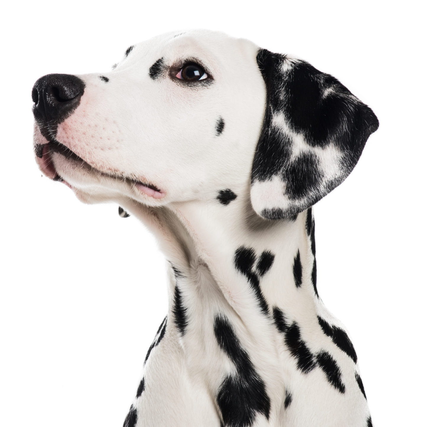 A dalmation looking up