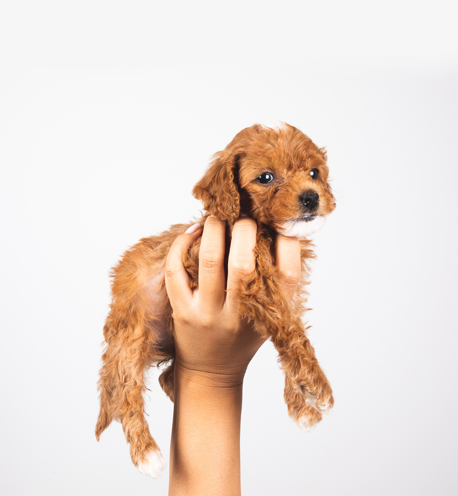 Lucy The Mini Golden Doodle Langley BC