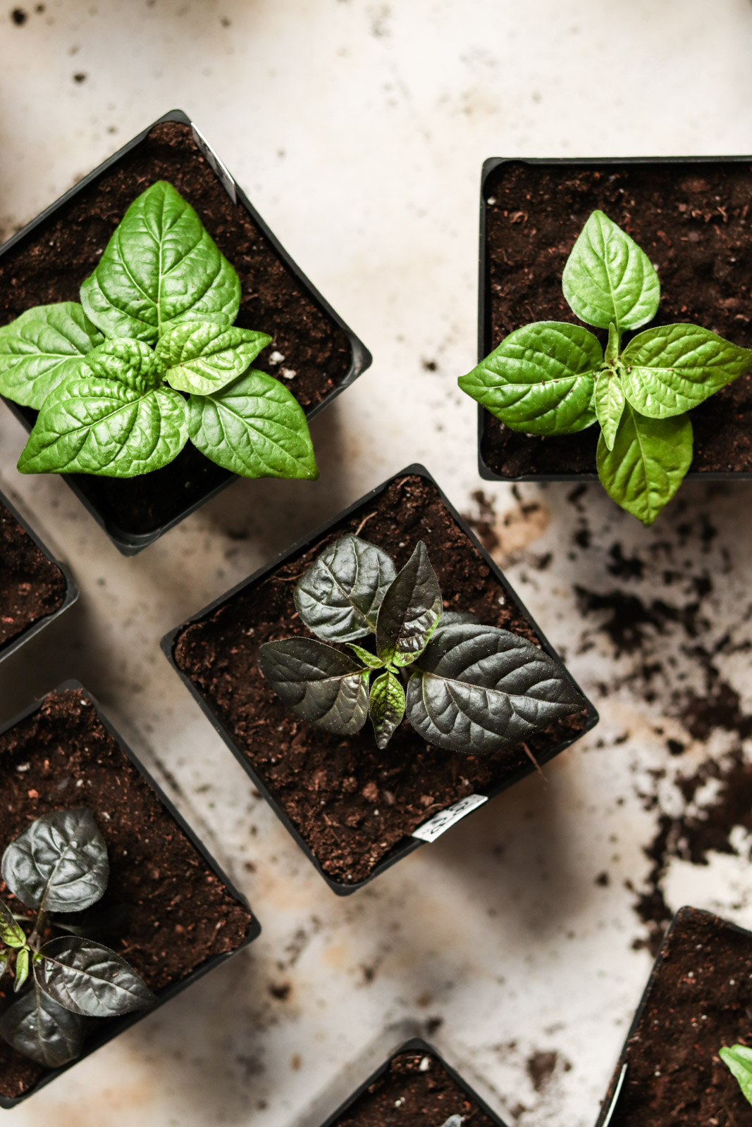 Several pots of young pepper seedlings, some with green leaves and some with purple.