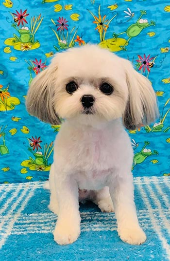 Dog after being groomed